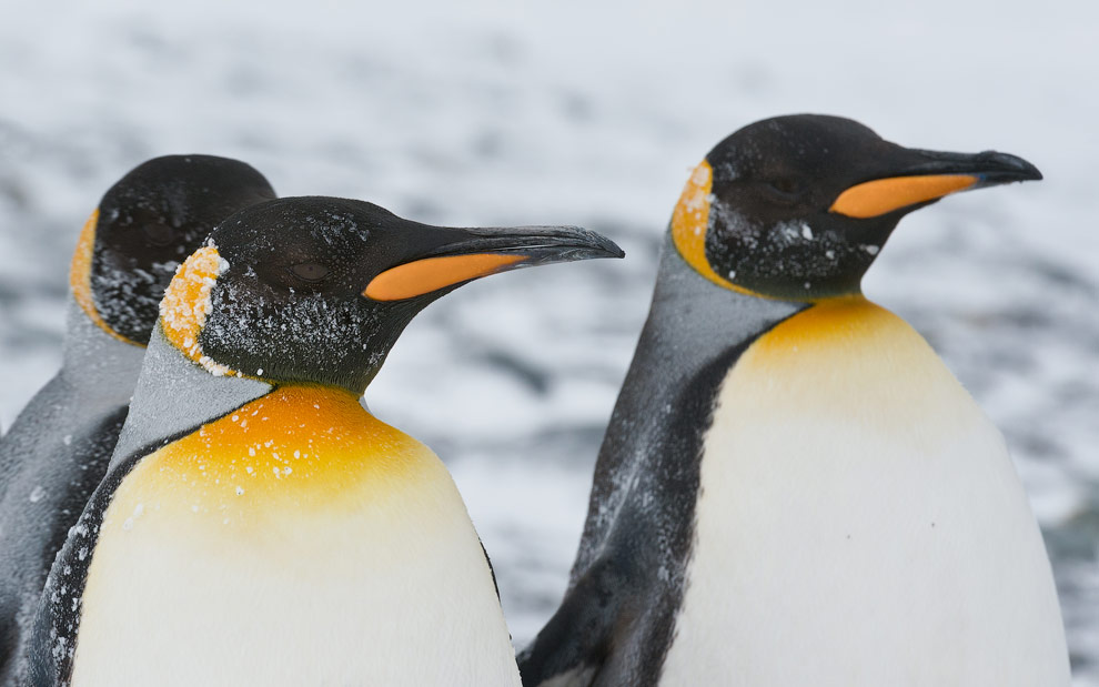 King Penguins (Aptenodytes patagonicus), Salisbury Plain, South Georgia, Sub-Antarctic