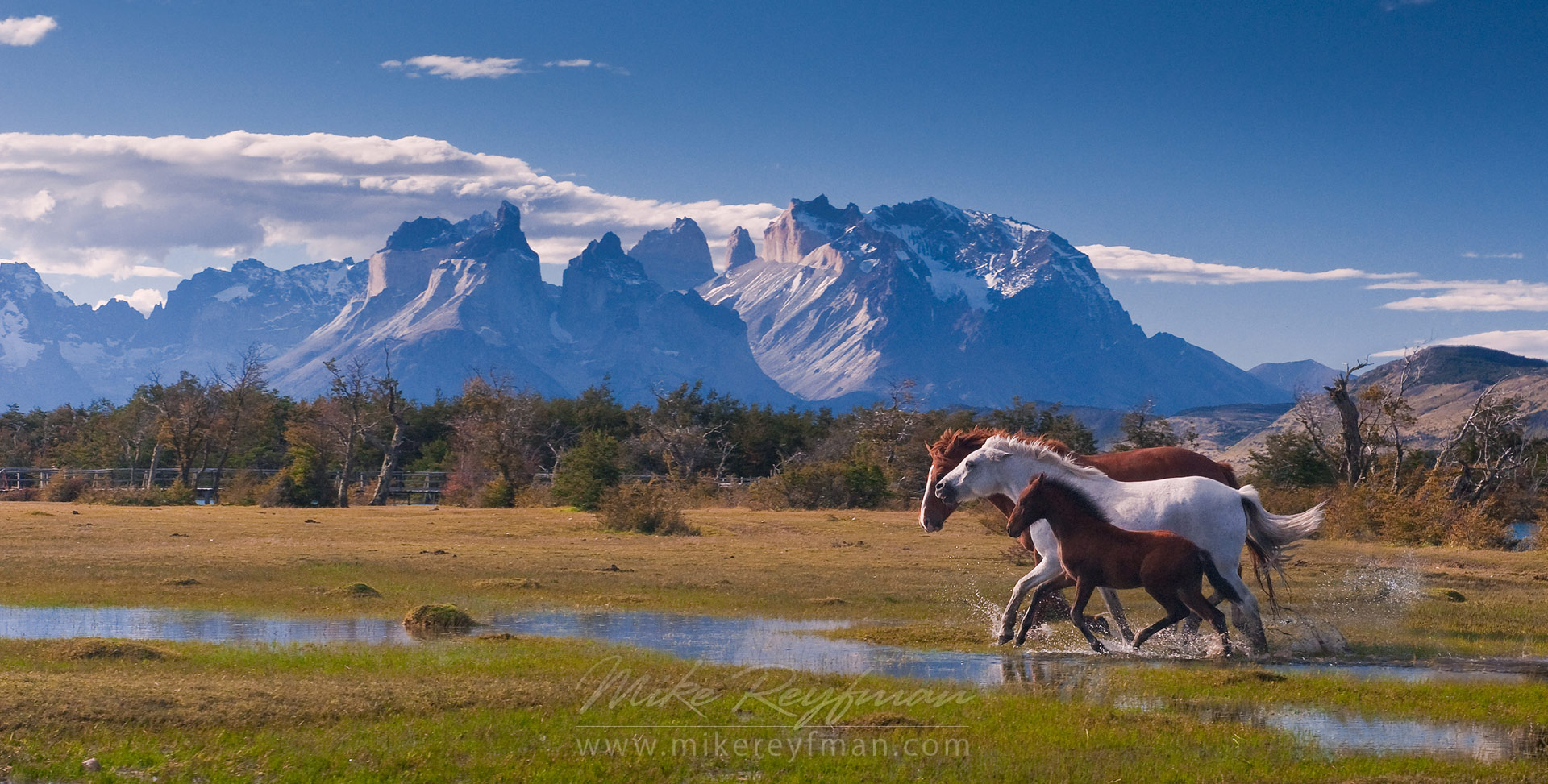 Horses (stallion, mare and foal) are running on the beautiful background of Chilean Andes. Torres del Paine National Park, Ultima Esperanza Province, Magallanes and Antartica Chilena Region XII, Patagonia, Chile. - Patagonia-Wildlife-and-Horses - Mike Reyfman Photography