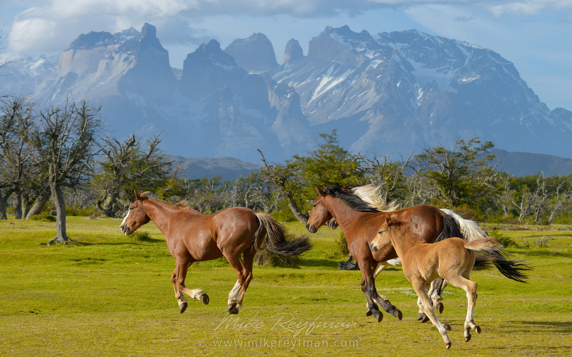 Horses (stallion, mare and foal) are running on the beautiful background of Cordillera del Paine. Torres del Paine National Park, Ultima Esperanza Province, Magallanes and Antartica Chilena Region XII, Patagonia, Chile. - Patagonia-Wildlife-and-Horses - Mike Reyfman Photography