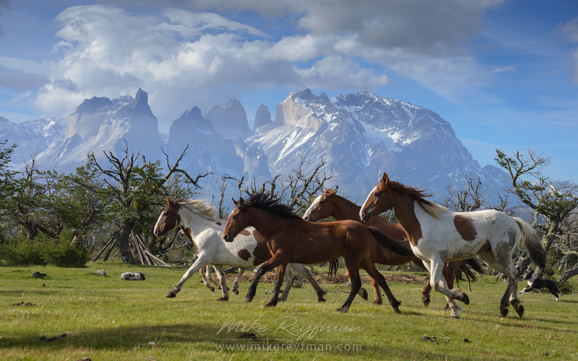 Horses are running on the beautiful background of Cordillera del Paine. Torres del Paine National Park, Ultima Esperanza Province, Magallanes and Antartica Chilena Region XII, Patagonia, Chile. - Patagonia-Wildlife-and-Horses - Mike Reyfman Photography