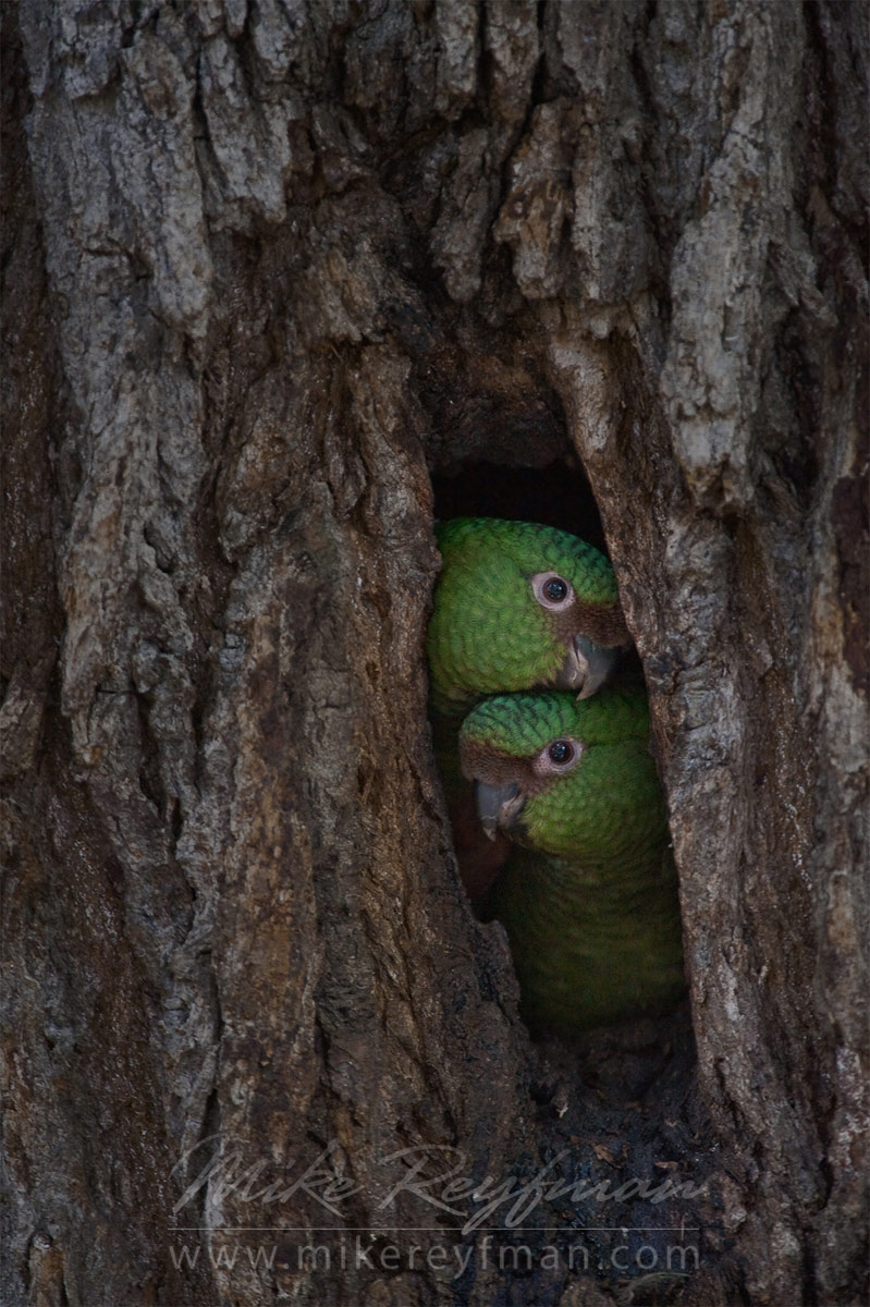 Baby Austral Parakeets (Enicognathus ferrugineus) in the hollow. Torres del Paine National Park, Ultima Esperanza Province, Magallanes and Antartica Chilena Region XII, Patagonia, Chile. - Patagonia-Wildlife-and-Horses - Mike Reyfman Photography