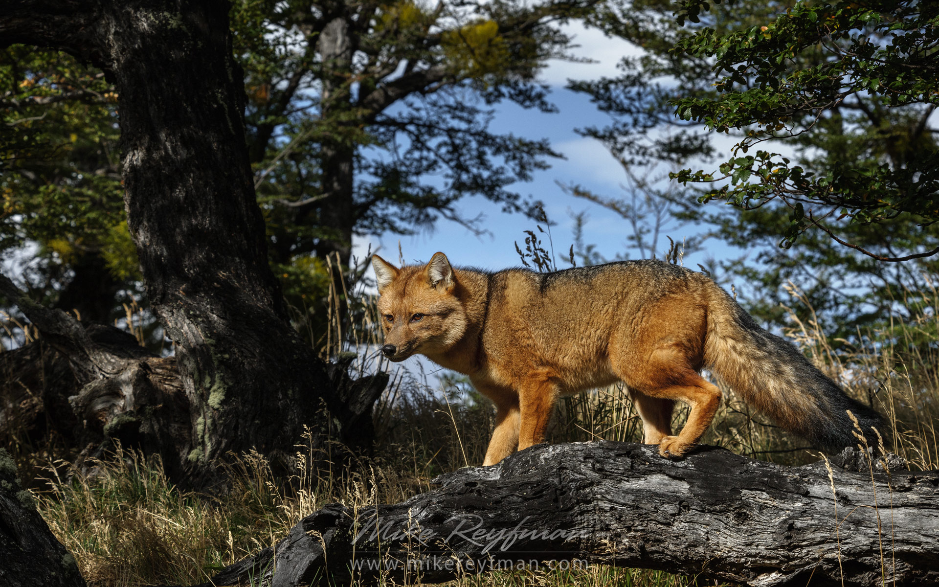 Adult Patagonian Red Fox (Lycalopex culpaeus) standing on the fallen tree. Torres del Paine National Park, Ultima Esperanza Province, Magallanes and Antartica Chilena Region XII, Patagonia, Chile. - Patagonia-Wildlife-and-Horses - Mike Reyfman Photography