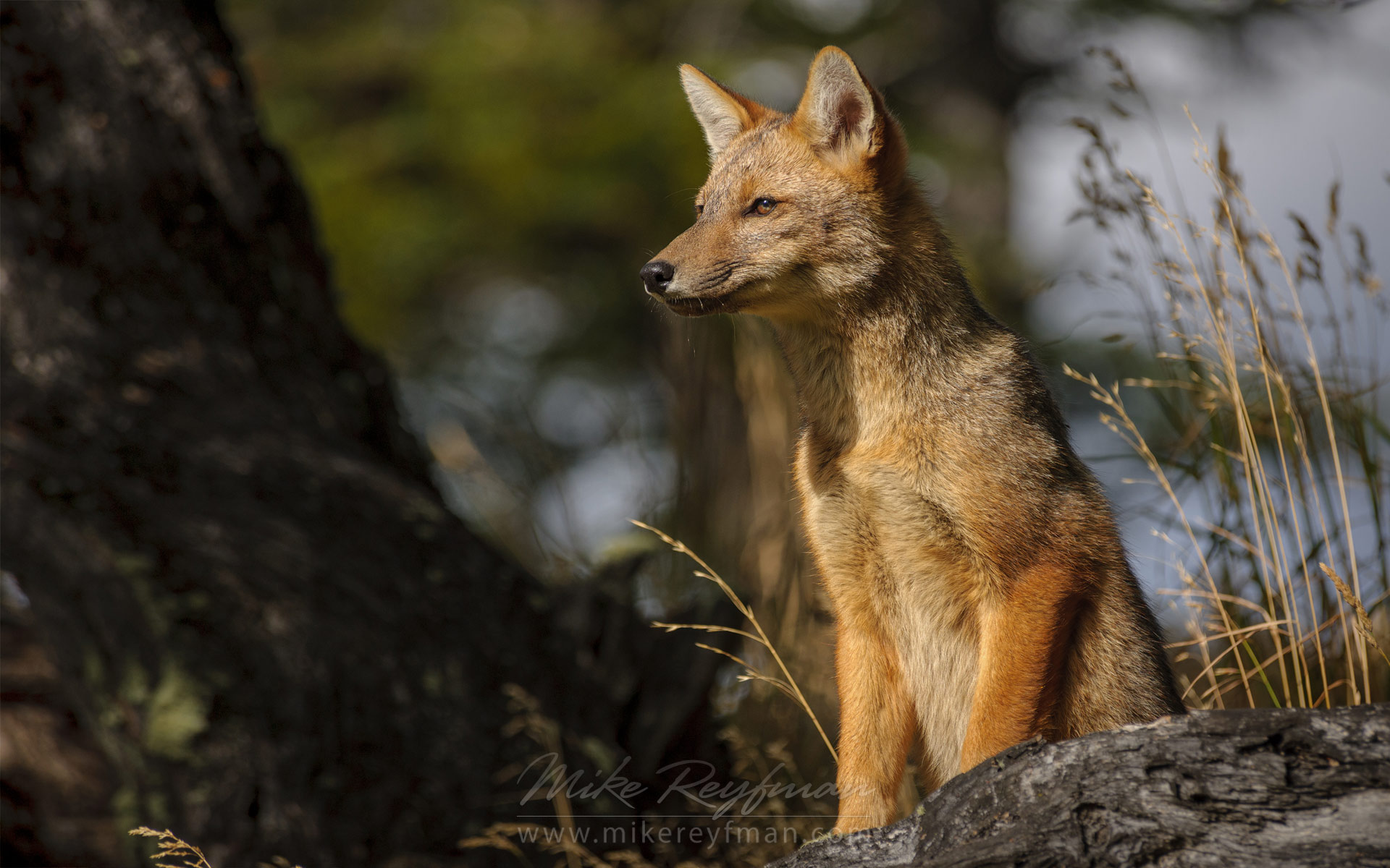 Young Patagonian Red Fox (Lycalopex culpaeus). Torres del Paine National Park, Magallanes and Antartica Chilena Region XII, Patagonia, Chile. - Patagonia-Wildlife-and-Horses - Mike Reyfman Photography