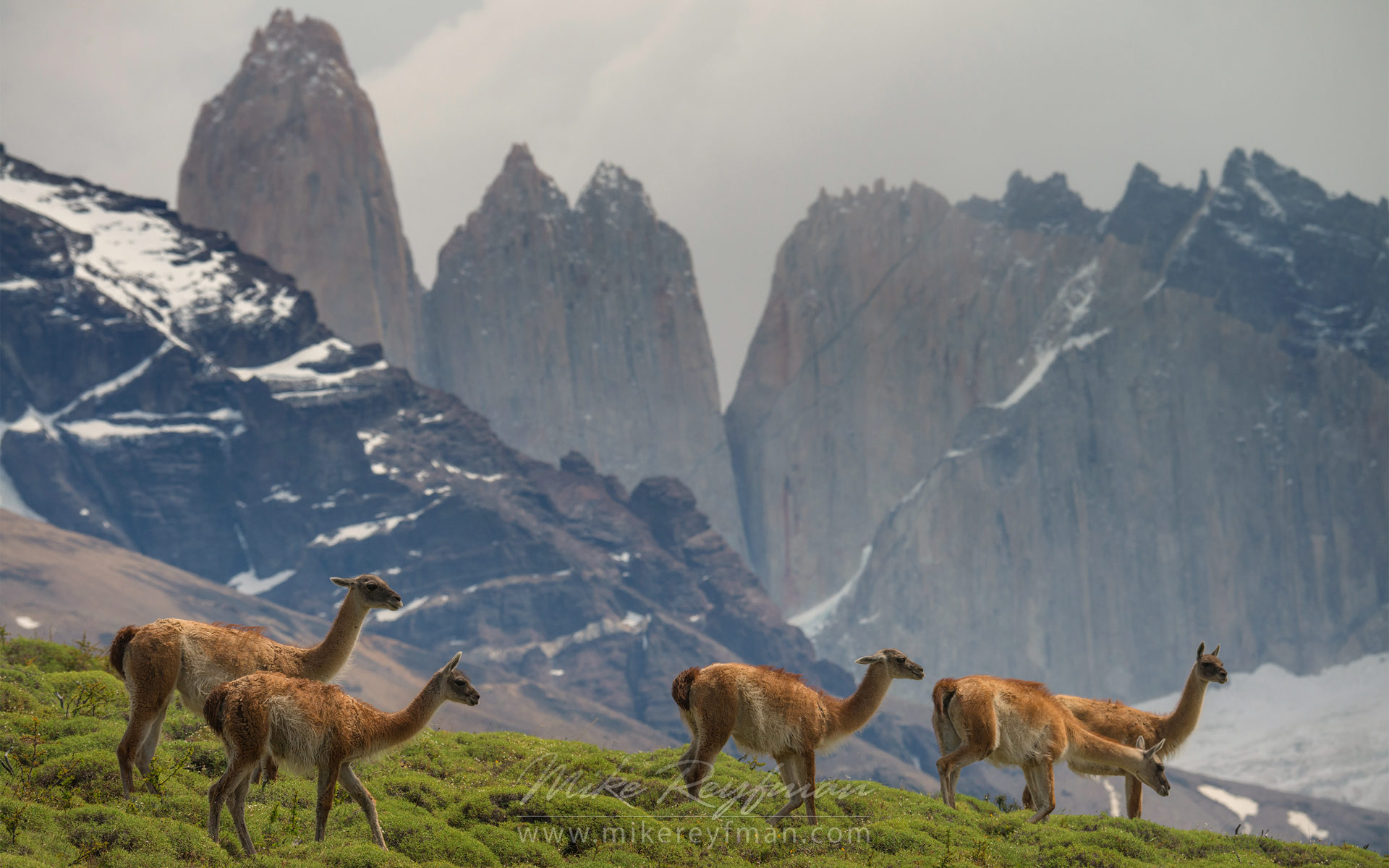 Several Guanacos (Lama guanicoe) graze in Torres del Paine National park. Towers of Paine are on the backdrop. Ultima Esperanza Province, Magallanes and Antartica Chilena Region XII, Patagonia, Chile. - Patagonia-Wildlife-and-Horses - Mike Reyfman Photography
