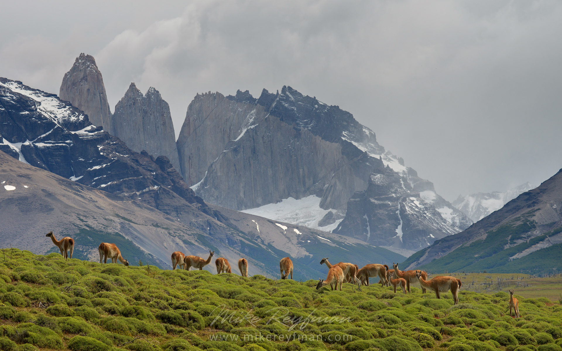 Big flock of Guanacos (Lama guanicoe) graze in Torres del Paine National park. Towers of Paine are on the backdrop. Ultima Esperanza Province, Magallanes and Antartica Chilena Region XII, Patagonia, Chile. - Patagonia-Wildlife-and-Horses - Mike Reyfman Photography