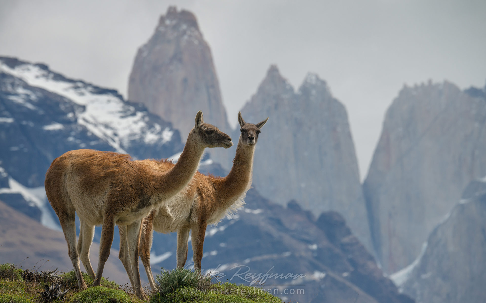 Two Guanacos (Lama guanicoe) standing on the hill top. Towers of Paine are on the backdrop. Torres del Paine National park, Ultima Esperanza Province, Magallanes and Antartica Chilena Region XII, Patagonia, Chile. - Patagonia-Wildlife-and-Horses - Mike Reyfman Photography