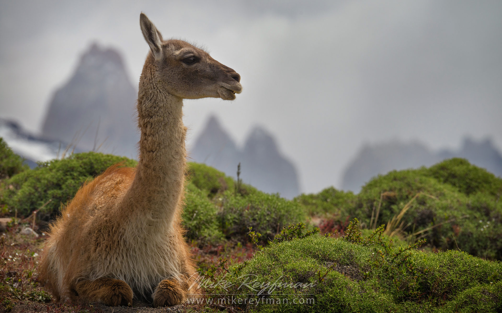 Guanaco (Lama guanicoe) sitting on hill top. Towers of Paine are on the backdrop. Torres del Paine National Park, Magallanes and Antartica Chilena Region XII, Patagonia, Chile. - Patagonia-Wildlife-and-Horses - Mike Reyfman Photography
