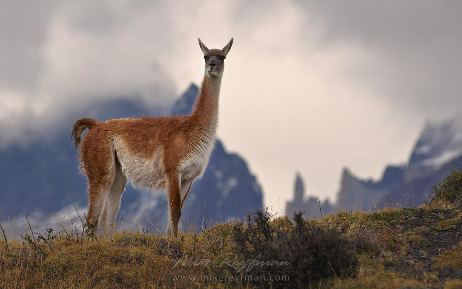 Guanaco (Lama guanicoe) standing on hill top. Torres del Paine National Park, Magallanes and Antartica Chilena Region XII, Patagonia, Chile. - Patagonia-Wildlife-and-Horses - Mike Reyfman Photography