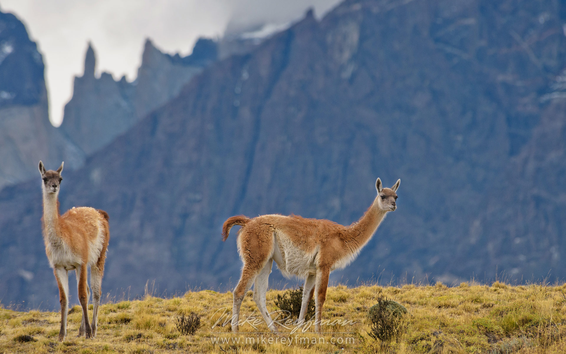 Two Guanacos (Lama guanicoe) standing on hill top. Torres del Paine National Park, Magallanes and Antartica Chilena Region XII, Patagonia, Chile. - Patagonia-Wildlife-and-Horses - Mike Reyfman Photography