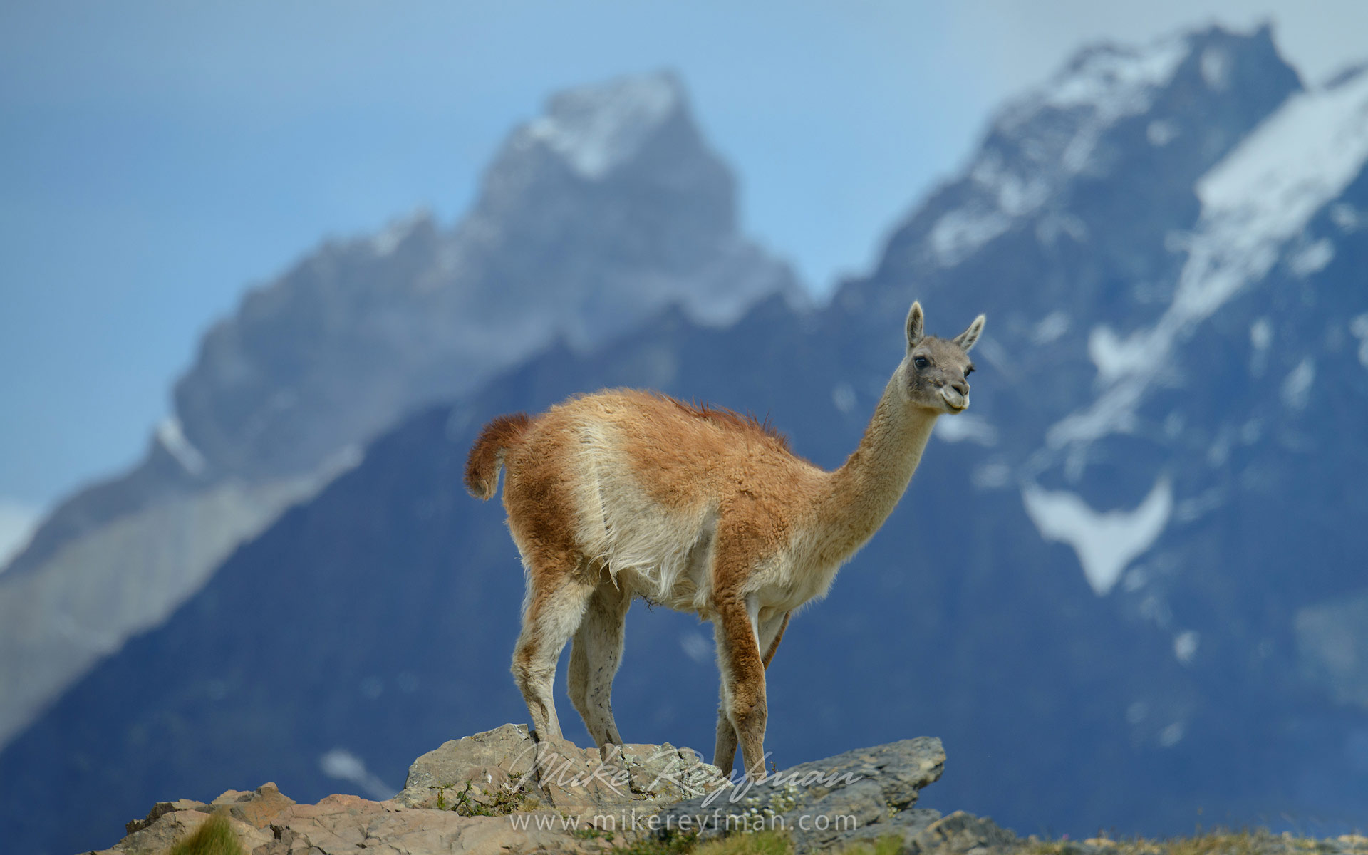 Guanaco (Lama guanicoe) standing on the rocky hill top. Torres del Paine National Park, Magallanes and Antartica Chilena Region XII, Patagonia, Chile. - Patagonia-Wildlife-and-Horses - Mike Reyfman Photography