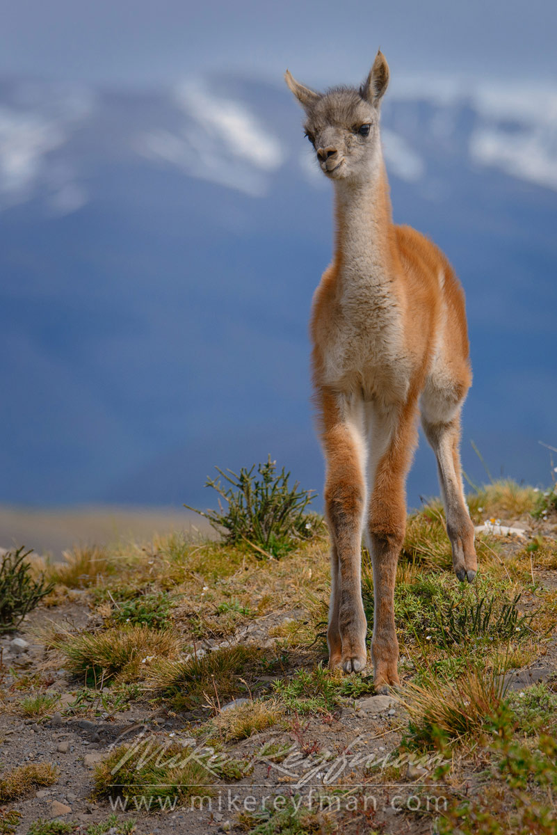 Chulengo. Baby Guanaco (Lama guanicoe) standing on the hill top. Torres del Paine National Park, Magallanes and Antartica Chilena Region XII, Patagonia, Chile. - Patagonia-Wildlife-and-Horses - Mike Reyfman Photography
