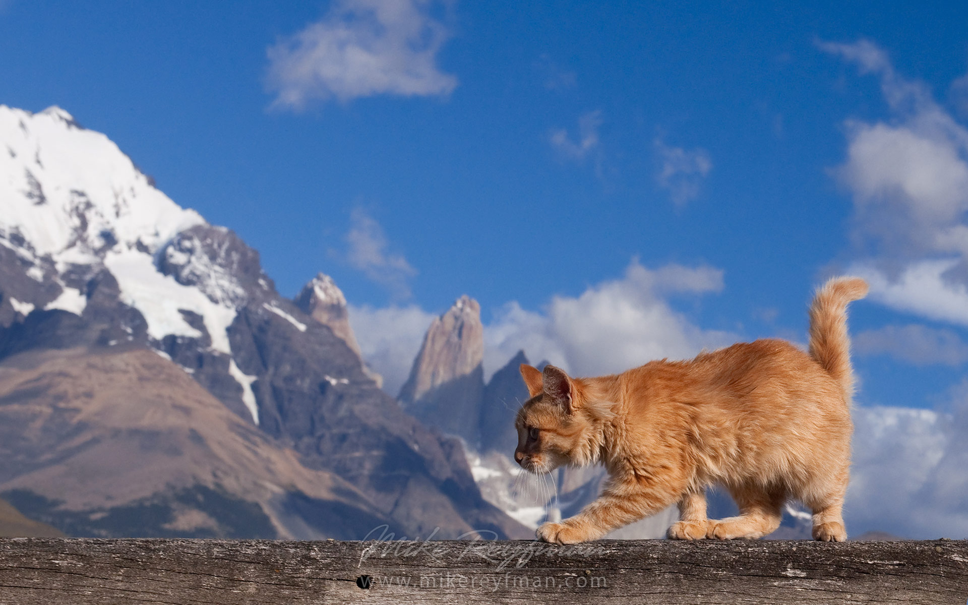 Kitten walking on the fence of old estancia. Towers of Paine are on the background. Torres del Paine National Park, Ultima Esperanza Province, Magallanes and Antartica Chilena Region XII, Patagonia, Chile. - Patagonia-Wildlife-and-Horses - Mike Reyfman Photography