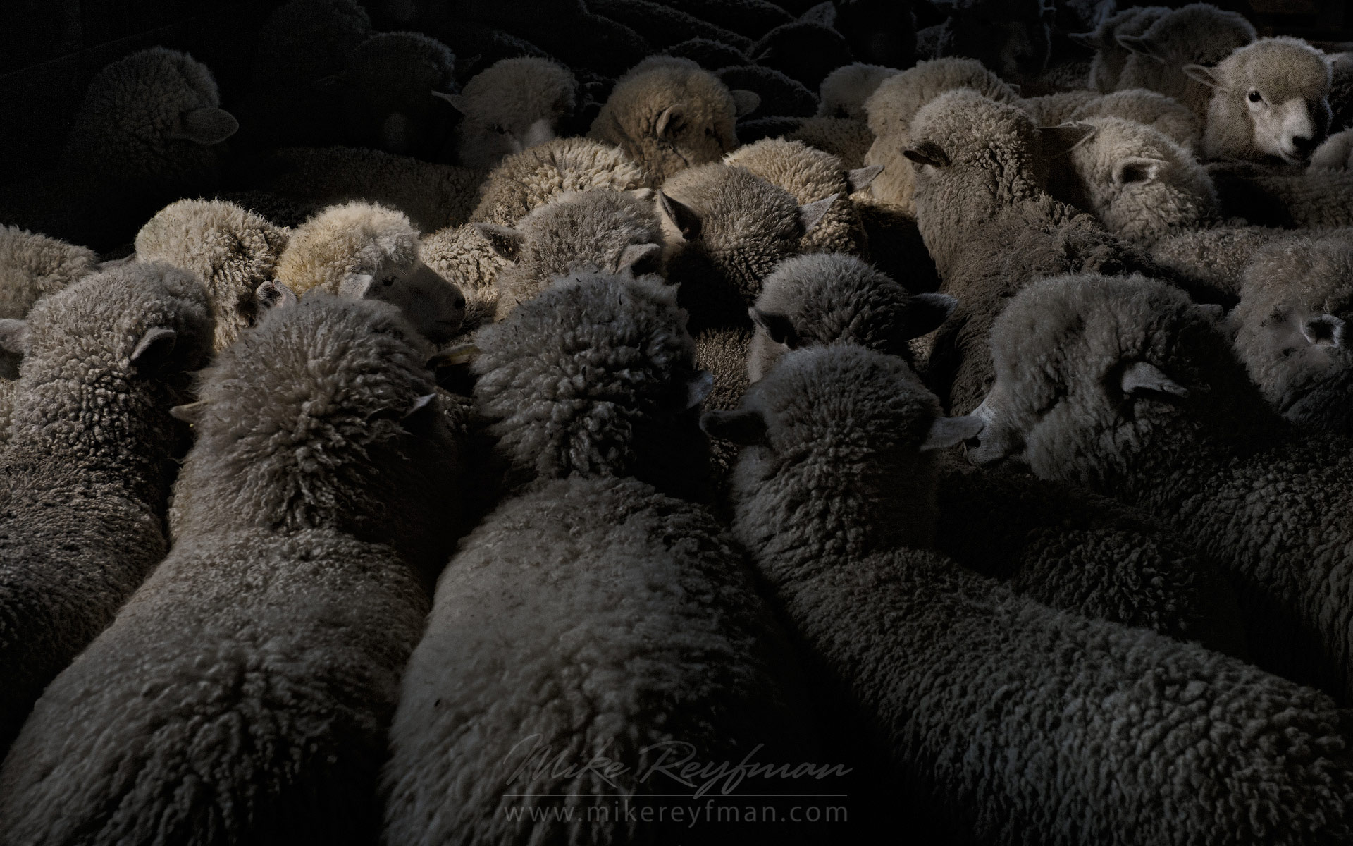 Sheep in the shearing shed. Ultima Esperanza Province, Magallanes and Antartica Chilena Region XII, Patagonia, Chile. - Patagonia-Wildlife-and-Horses - Mike Reyfman Photography