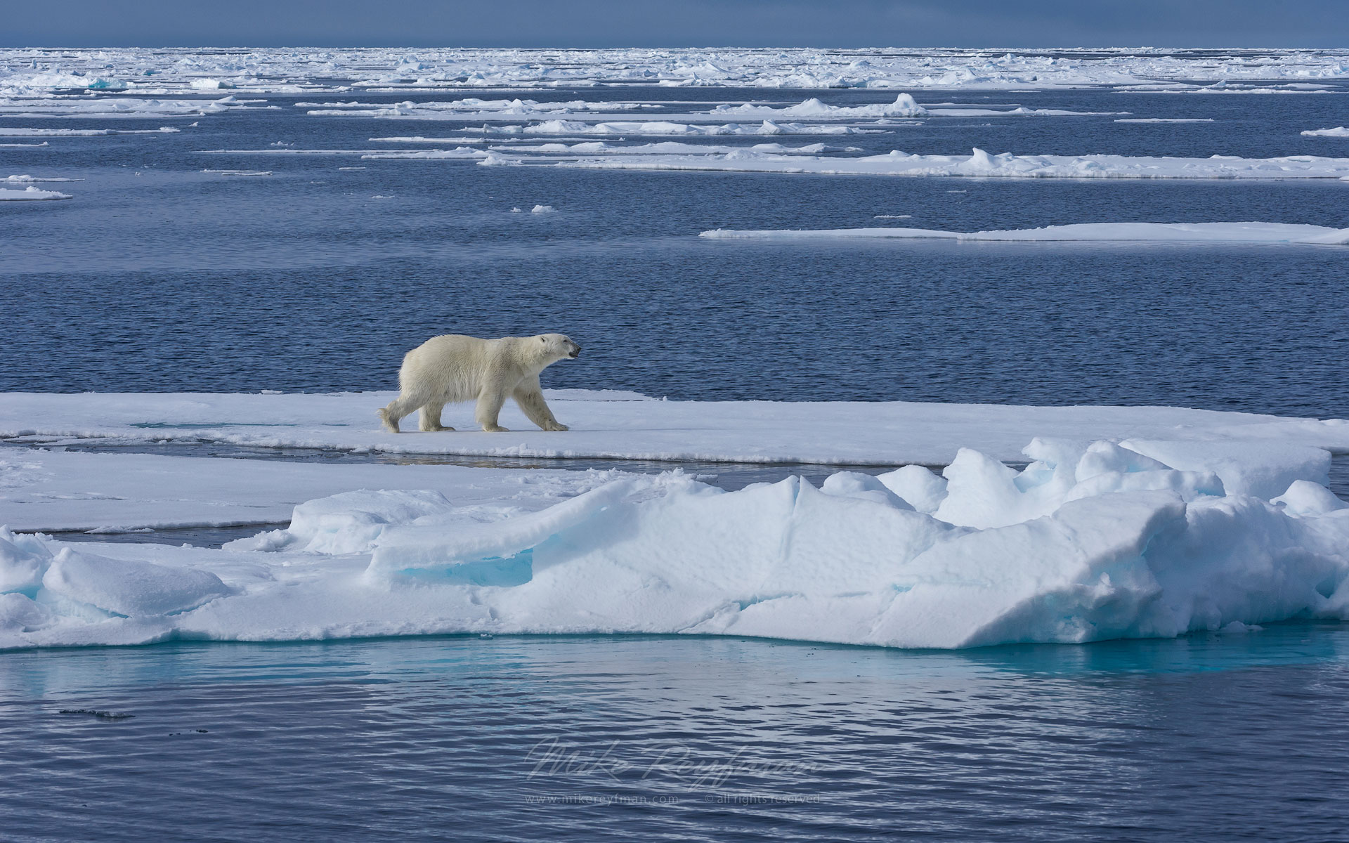 Polar bear walking on an ice floe in Svalbard, Norway. 81st parallel North. - Polar-Bears-Svalbard-Spitsbergen-Norway - Mike Reyfman Photography