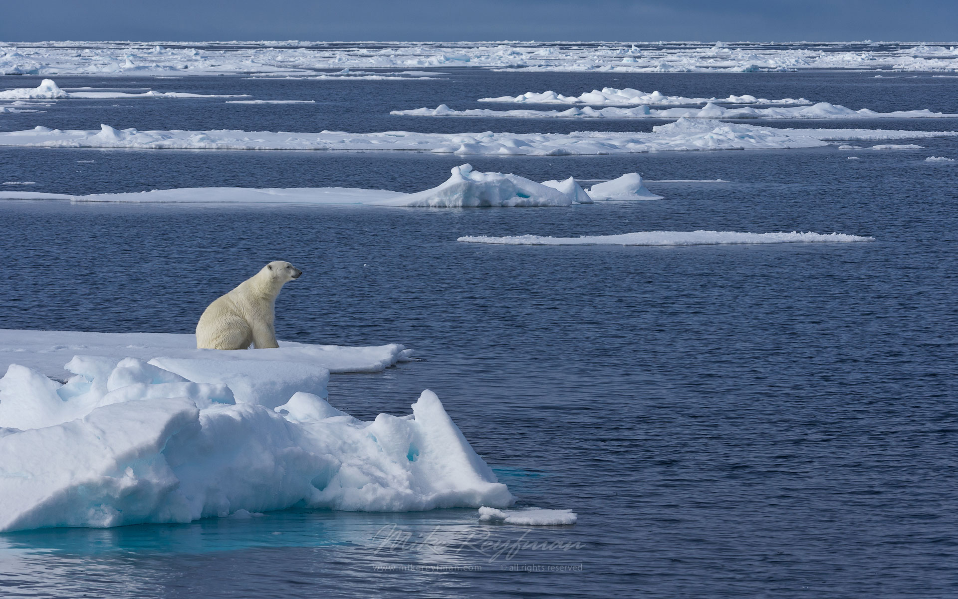 Polar bear sitting on an ice floe in Svalbard, Norway. 81st parallel North. - Polar-Bears-Svalbard-Spitsbergen-Norway - Mike Reyfman Photography
