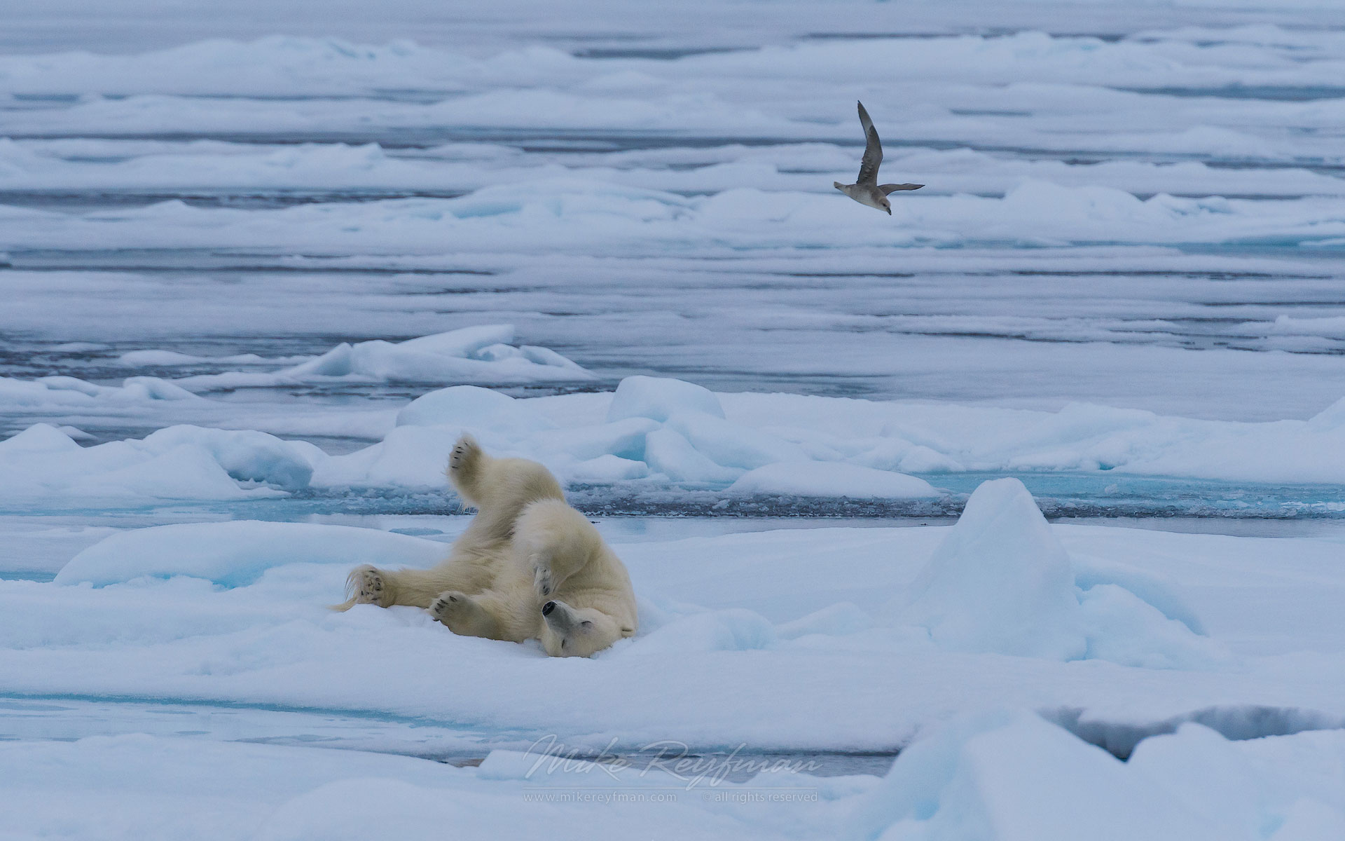 Polar Bear chilling on an ice floe in Svalbard, Norway. 81st parallel North. - Polar-Bears-Svalbard-Spitsbergen-Norway - Mike Reyfman Photography