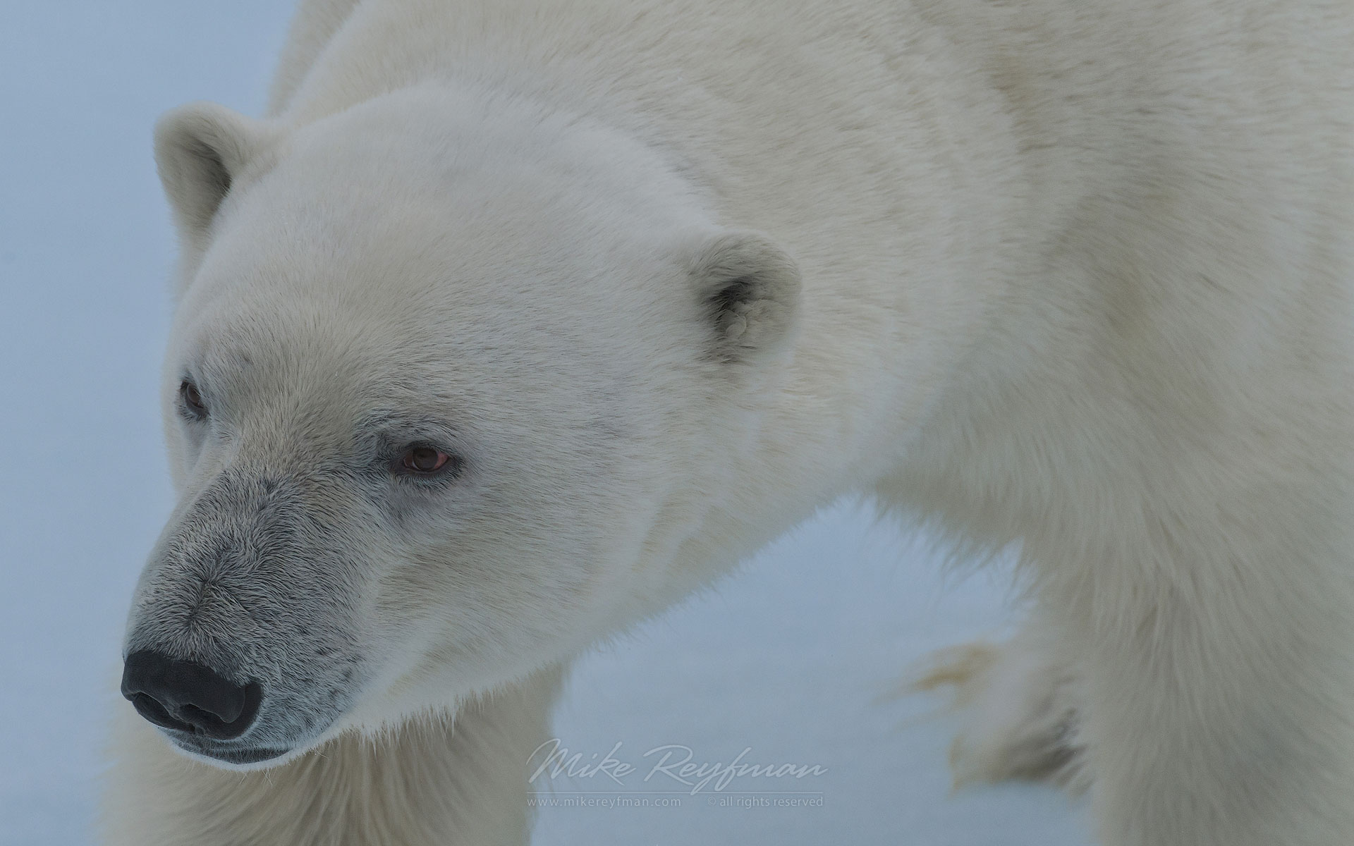 Hungry polar bear sniffing the air. Close-up portrait. Svalbard, Norway. 81st parallel North. - Polar-Bears-Svalbard-Spitsbergen-Norway - Mike Reyfman Photography