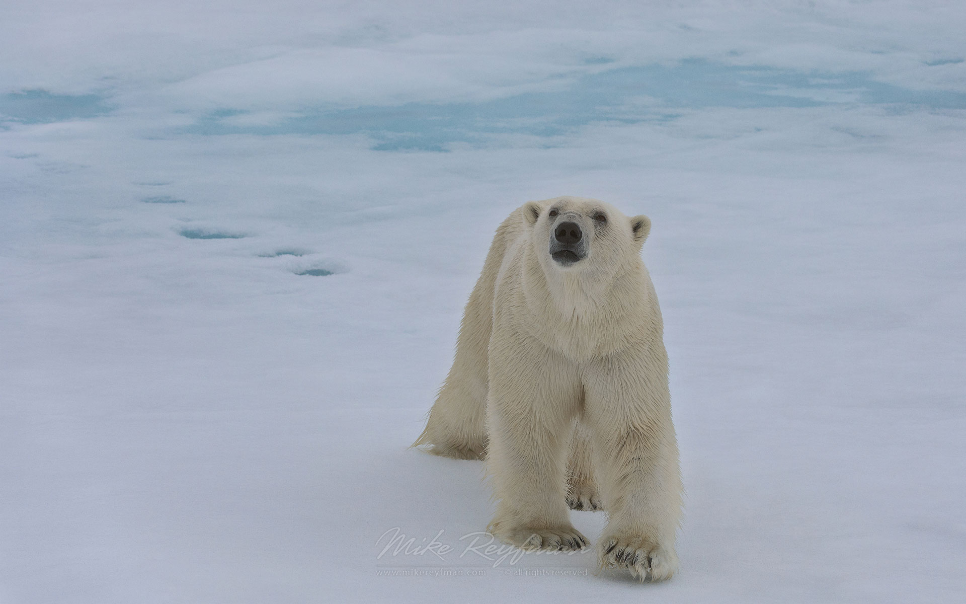 Polar bear on an ice floe in Svalbard, Norway. 81st parallel North. - Polar-Bears-Svalbard-Spitsbergen-Norway - Mike Reyfman Photography