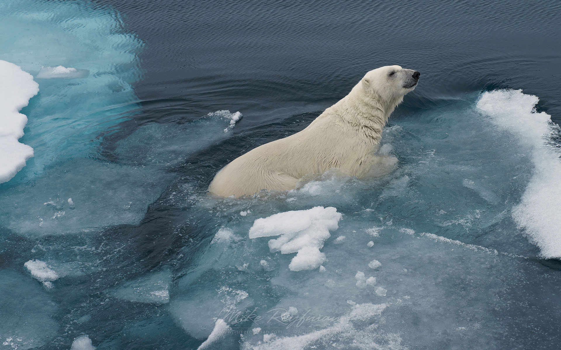 Swimming polar bear. Svalbard, Norway. 81st parallel North. - Polar-Bears-Svalbard-Spitsbergen-Norway - Mike Reyfman Photography