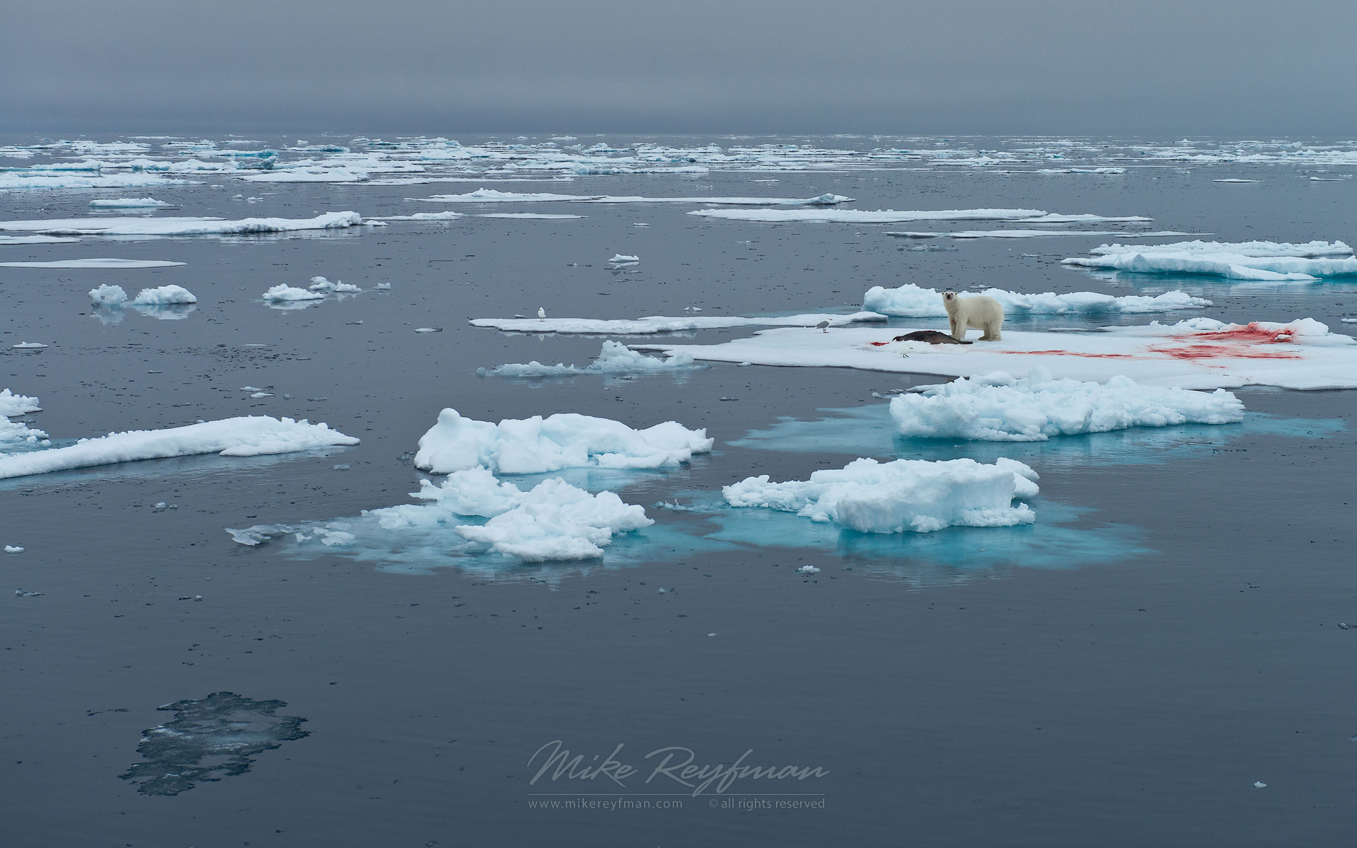 Polar bear with fresh seal kill on an ice floe. Svalbard, Norway. 81st parallel North. - Polar-Bears-Svalbard-Spitsbergen-Norway - Mike Reyfman Photography