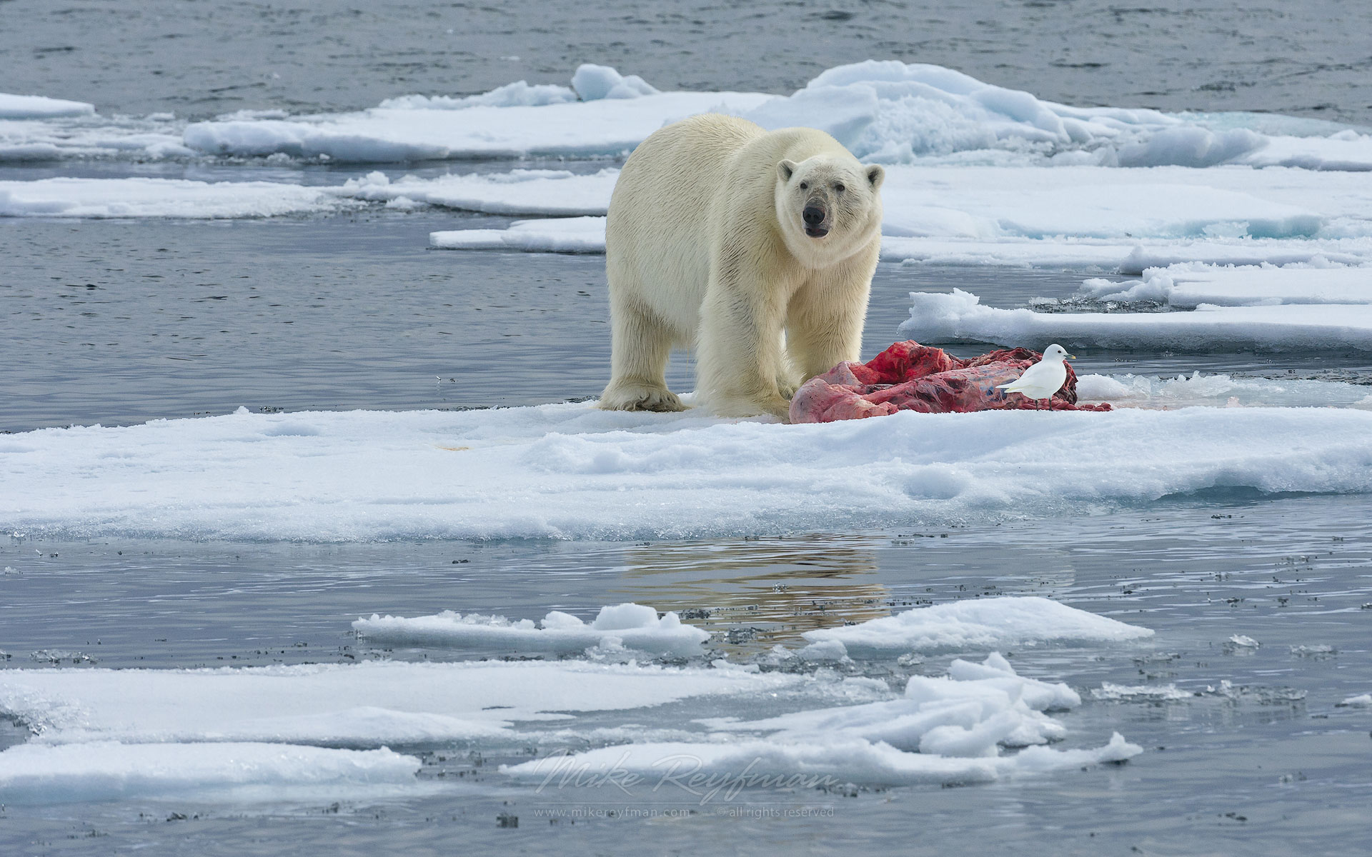 Polar bear with seal kill on an ice floe. Svalbard, Norway. 81st parallel North. - Polar-Bears-Svalbard-Spitsbergen-Norway - Mike Reyfman Photography