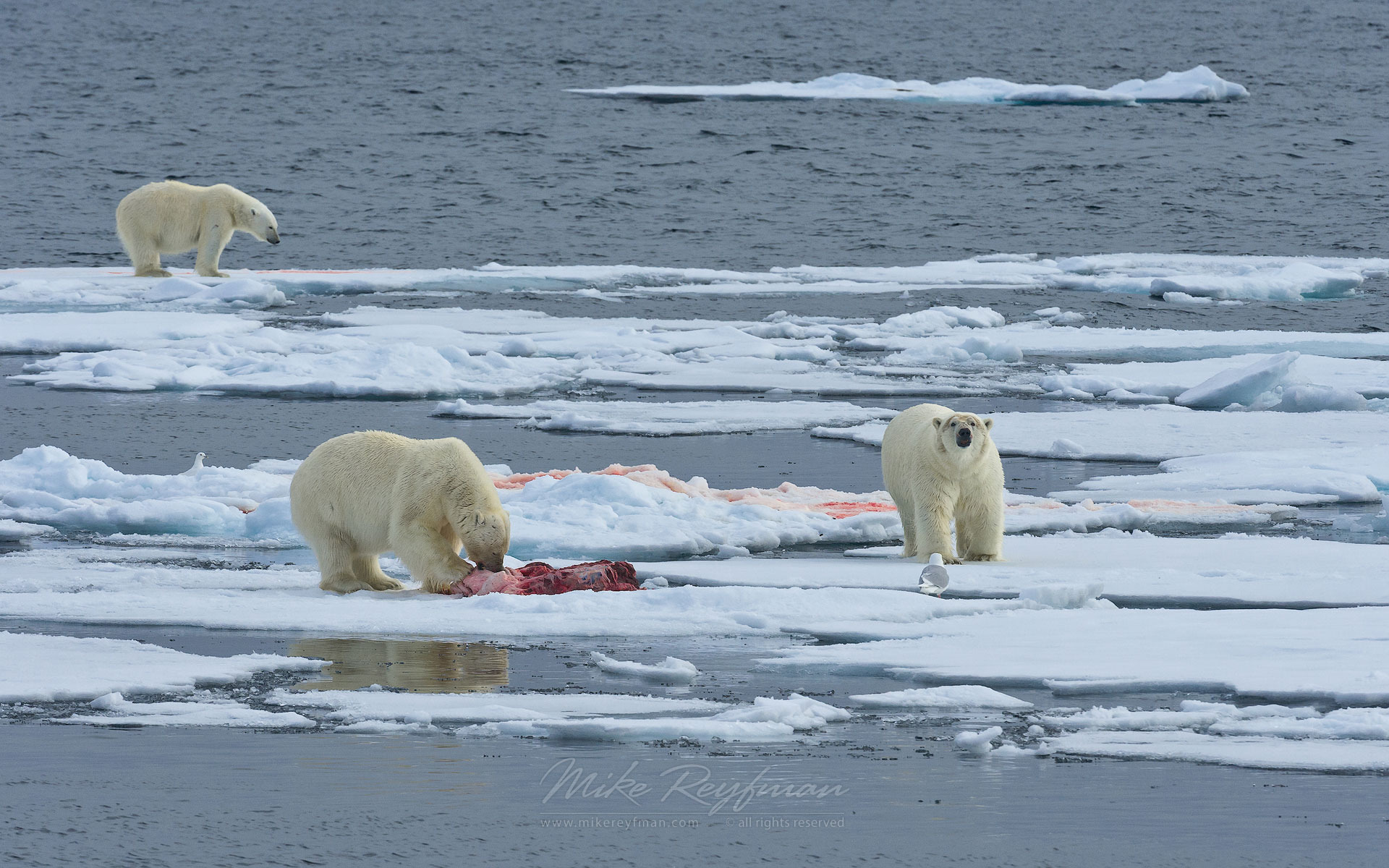 Polar bears with seal kill on an ice floe. Svalbard, Norway. 81st parallel North. - Polar-Bears-Svalbard-Spitsbergen-Norway - Mike Reyfman Photography