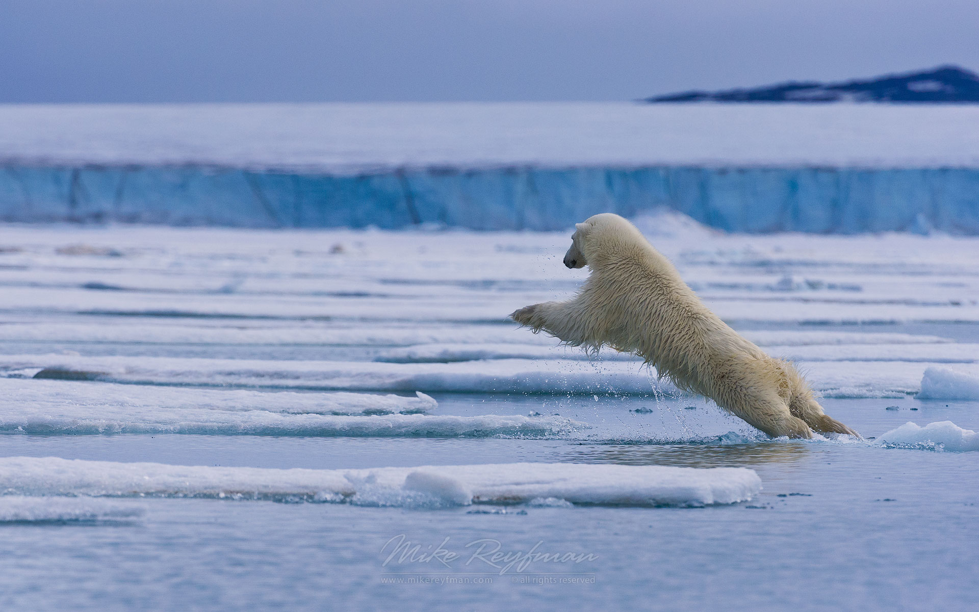 Polar bear leaps across the ice floe. Spitsbergen, Svalbard, Norway. - Polar-Bears-Svalbard-Spitsbergen-Norway - Mike Reyfman Photography