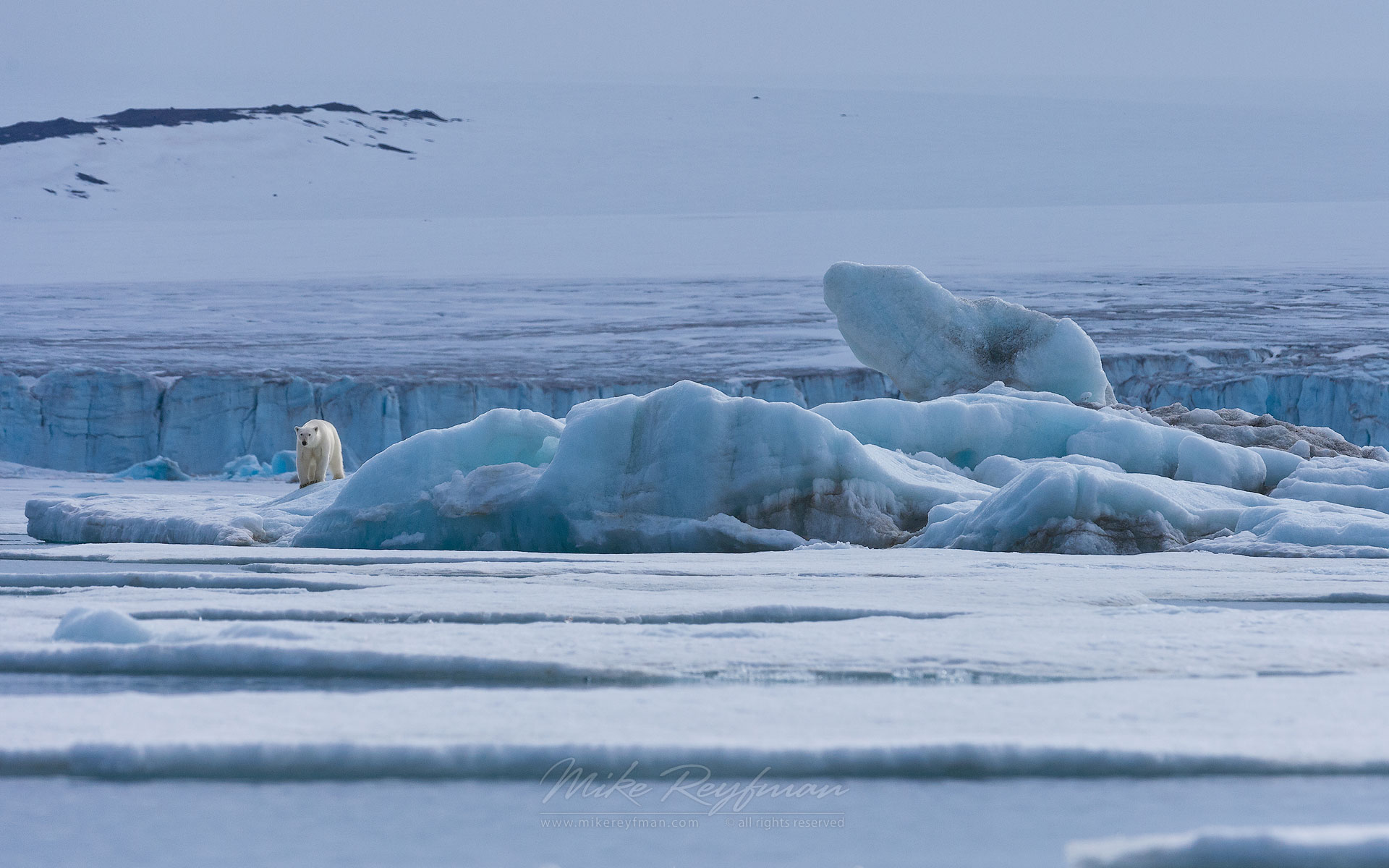 Polar bear on the pack ice along Spitsbergen coast. Svalbard, Norway. - Polar-Bears-Svalbard-Spitsbergen-Norway - Mike Reyfman Photography