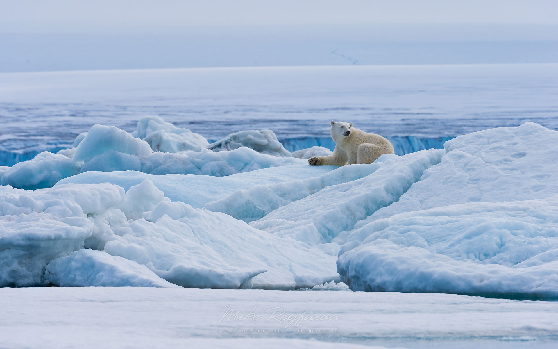 Female polar bear resting on the pack ice along Spitsbergen coast. Svalbard, Norway. - Polar-Bears-Svalbard-Spitsbergen-Norway - Mike Reyfman Photography