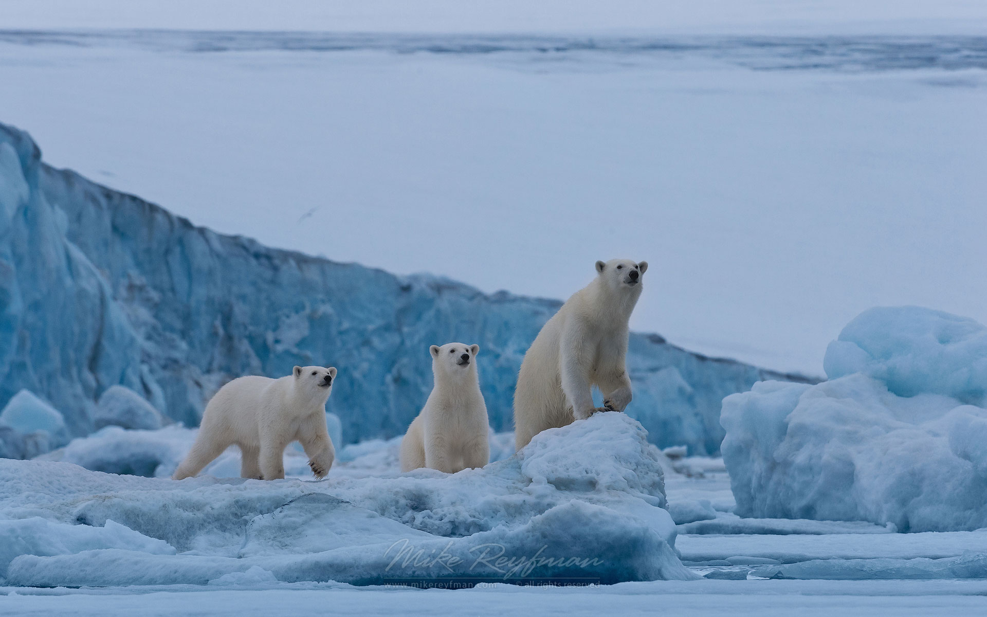 Female polar bear with twin cubs on the pack ice along Spitsbergen coast. Svalbard, Norway. - Polar-Bears-Svalbard-Spitsbergen-Norway - Mike Reyfman Photography