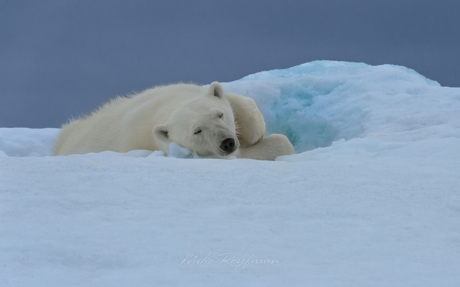 Polar bear sleeping on the iceberg along Spitsbergen coast. Svalbard, Norway. - Polar-Bears-Svalbard-Spitsbergen-Norway - Mike Reyfman Photography