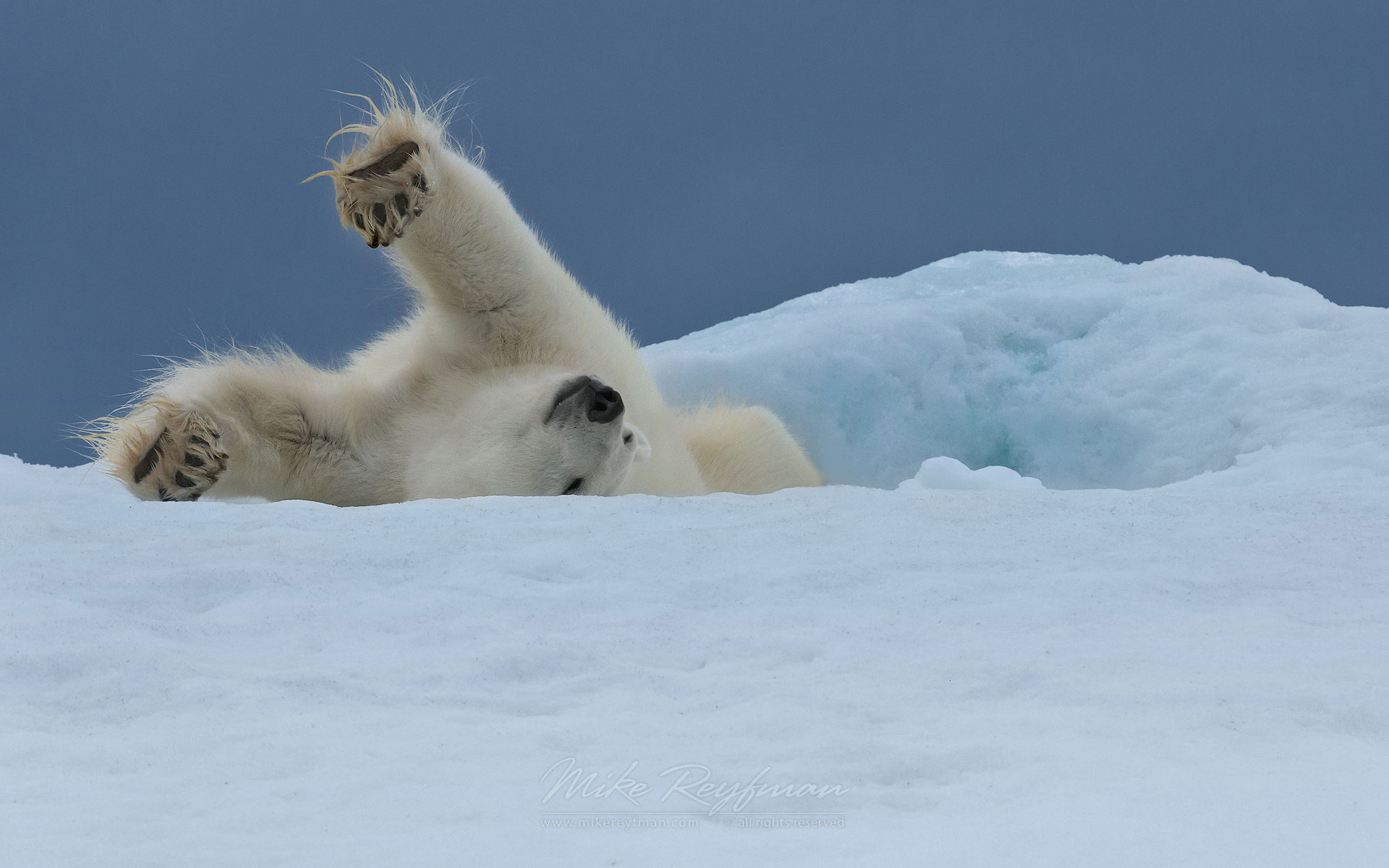 Polar bear stretching on the iceberg along Spitsbergen coast. Svalbard, Norway. - Polar-Bears-Svalbard-Spitsbergen-Norway - Mike Reyfman Photography
