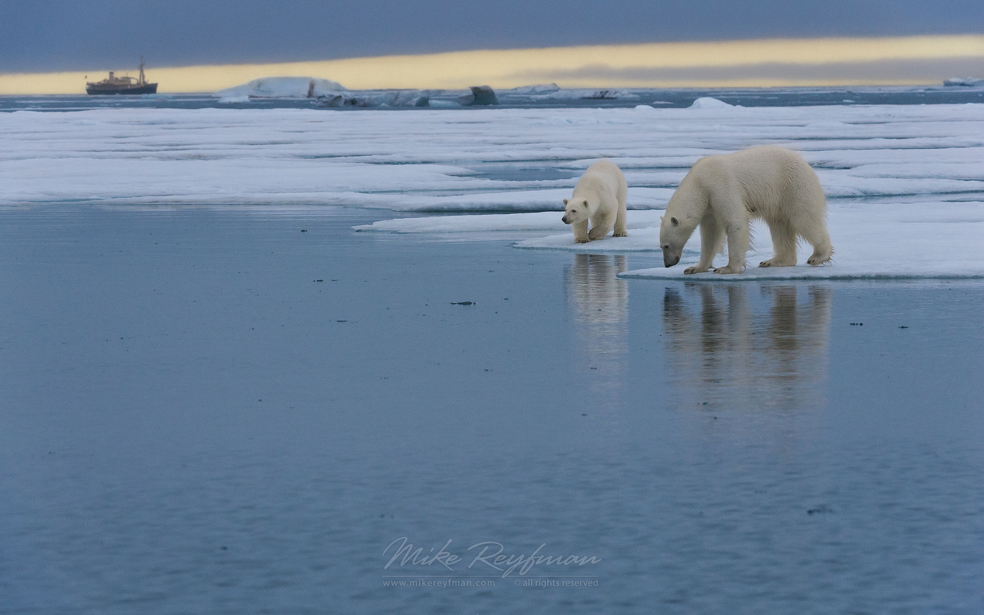 Femail polar bear with cub standing on the melting ice along Spitsbergen coast with M/S Origo on the background. Svalbard, Norway. - Polar-Bears-Svalbard-Spitsbergen-Norway - Mike Reyfman Photography