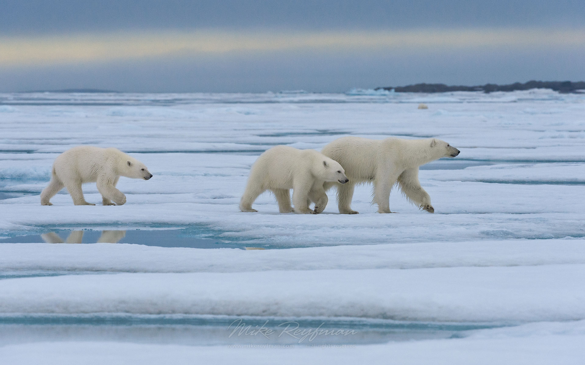 Female polar bear with twin cubs walking on the melting ice along Spitsbergen coast. Svalbard, Norway. - Polar-Bears-Svalbard-Spitsbergen-Norway - Mike Reyfman Photography