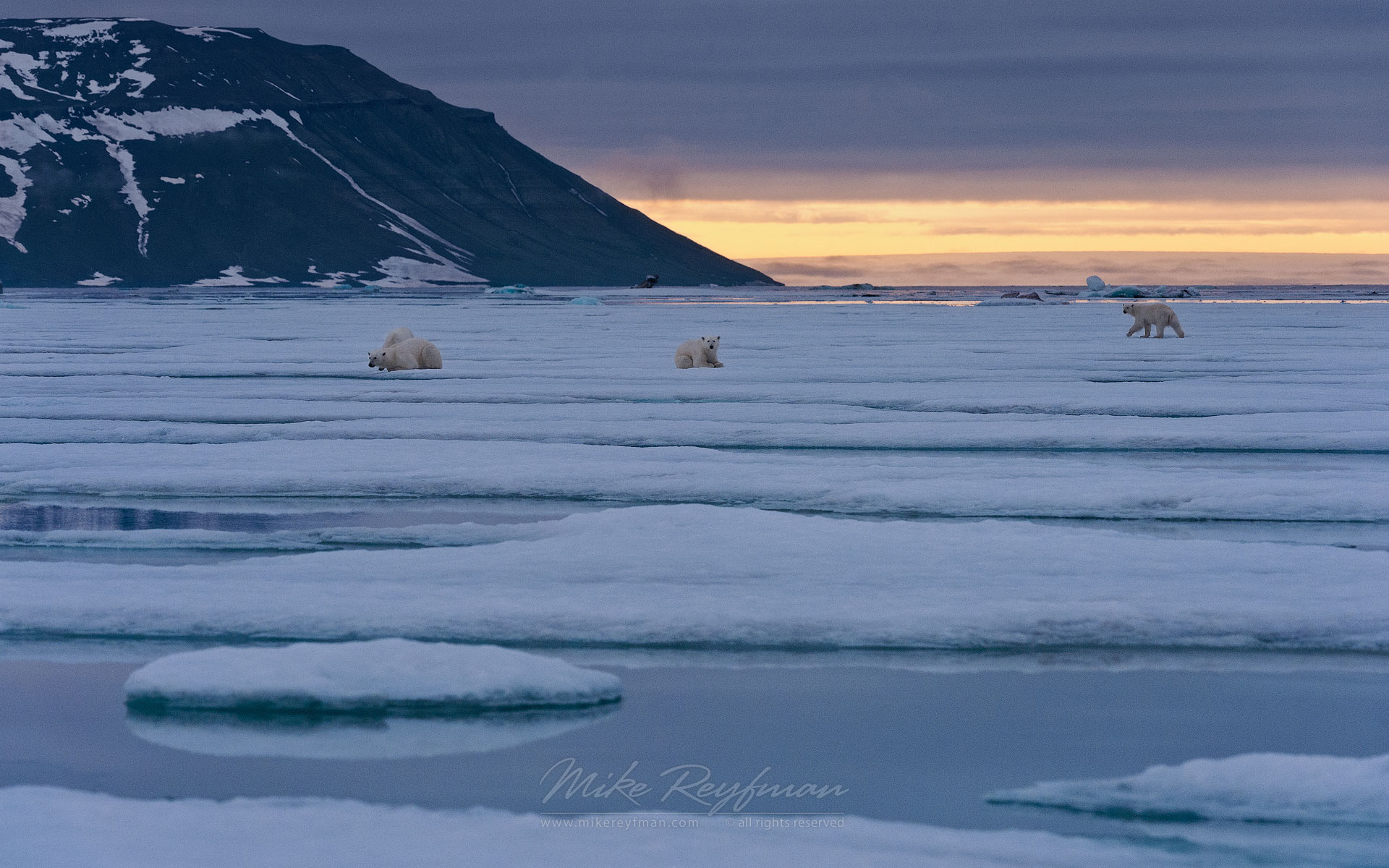 Spitsbergen Zoo. Polar Bear resting on ice along Spitsbergen coast at sunset. Spitsbergen, Svalbard, Norway. - Polar-Bears-Svalbard-Spitsbergen-Norway - Mike Reyfman Photography