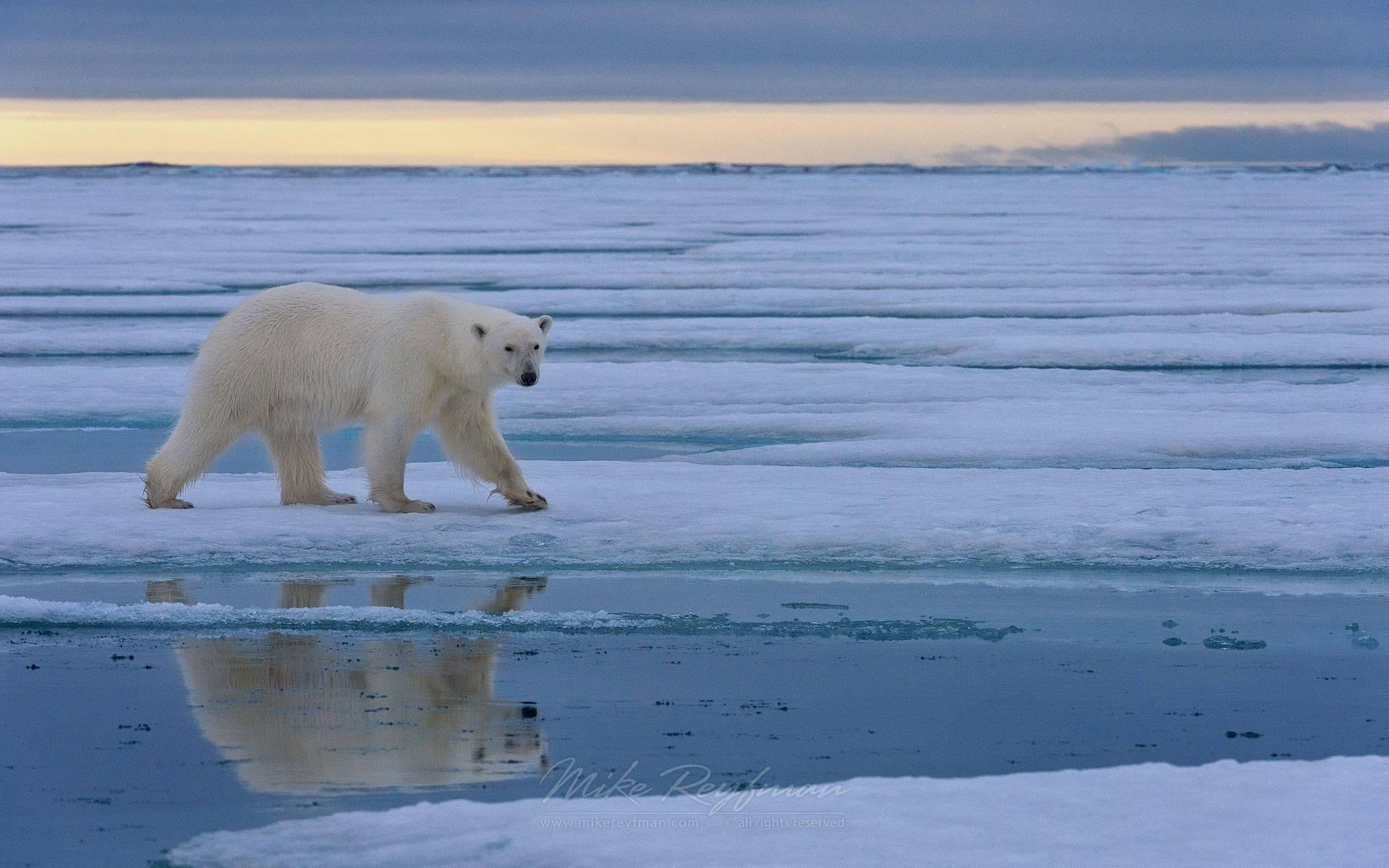 Polar Bear walking on ice floe at sunset. Spitsbergen, Svalbard, Norway. - Polar-Bears-Svalbard-Spitsbergen-Norway - Mike Reyfman Photography