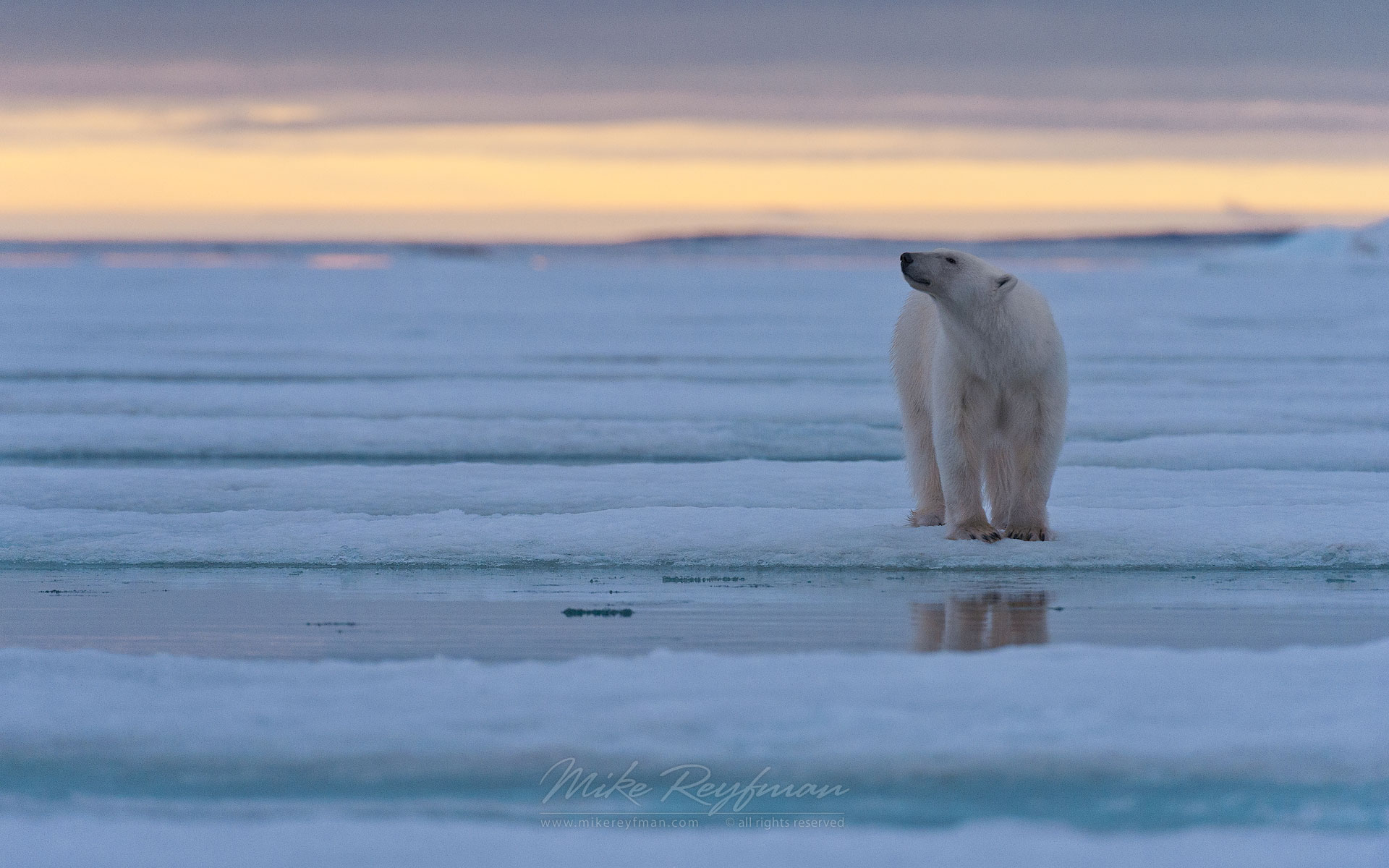 Polar Bear standing on ice floe at sunset. Spitsbergen, Svalbard, Norway. - Polar-Bears-Svalbard-Spitsbergen-Norway - Mike Reyfman Photography
