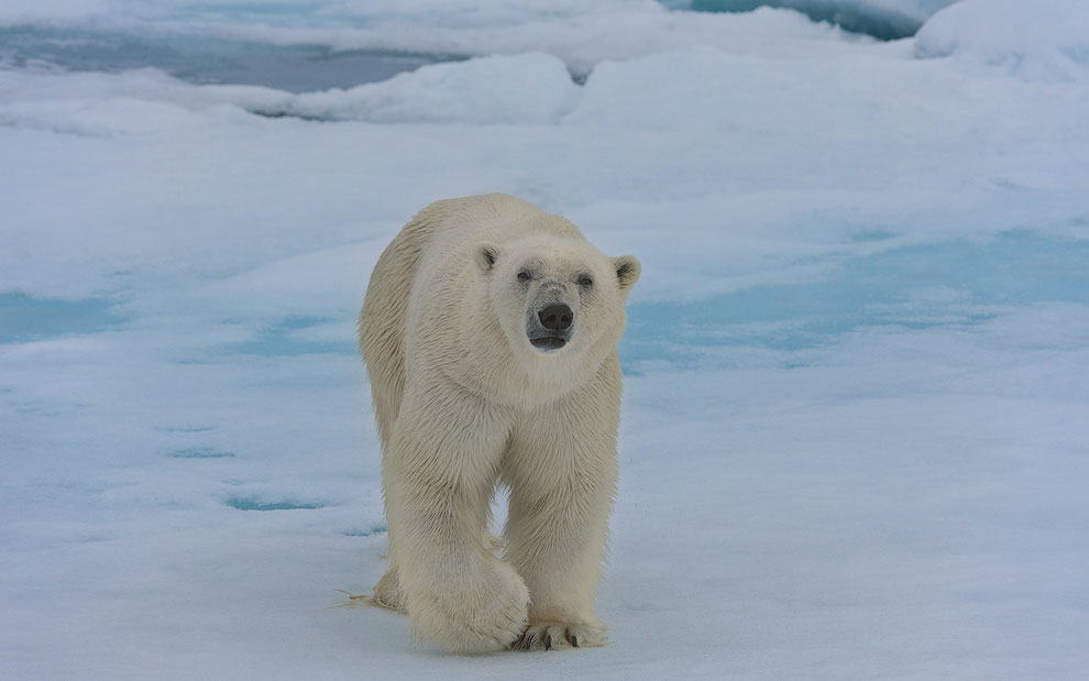 Polar bear on an ice floe in Svalbard, Norway. 81st parallel North.