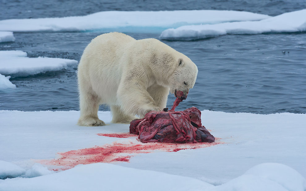 Polar bear with seal kill on an ice floe. Svalbard, Norway. 81st parallel North.