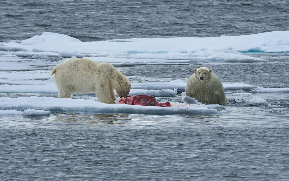 Unwanted guest. Polar bears with seal kill on an ice floe. Svalbard, Norway. 81st parallel North.