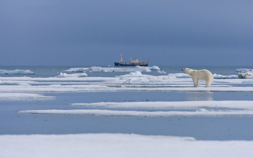 Polar bear standing on the melting ice along Spitsbergen coast with M/S Origo on the background. Svalbard, Norway.
