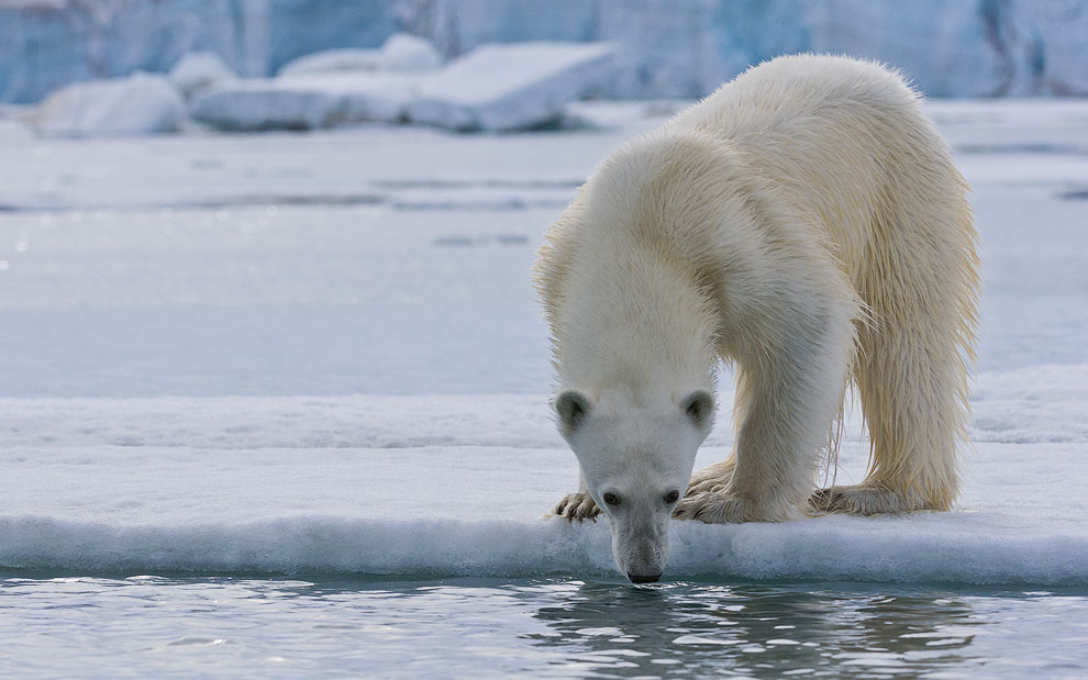 Hungry polar bear sniffing the water. Spitsbergen coast, Svalbard, Norway.