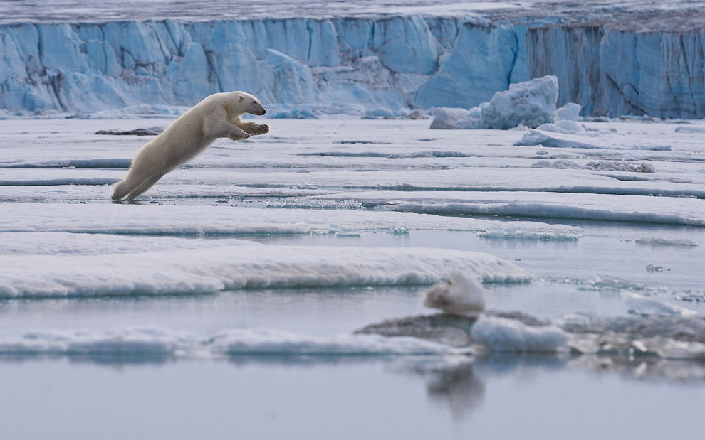 Polar bear leaps across the ice floe. Spitsbergen, Svalbard, Norway.