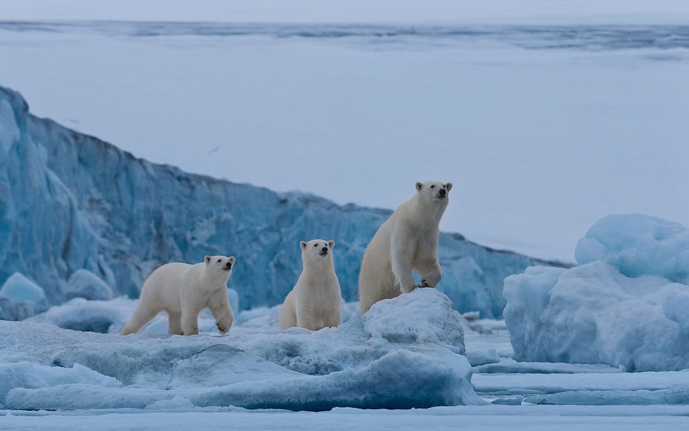 Female polar bear with twin cubs on the pack ice along Spitsbergen coast. Svalbard, Norway.