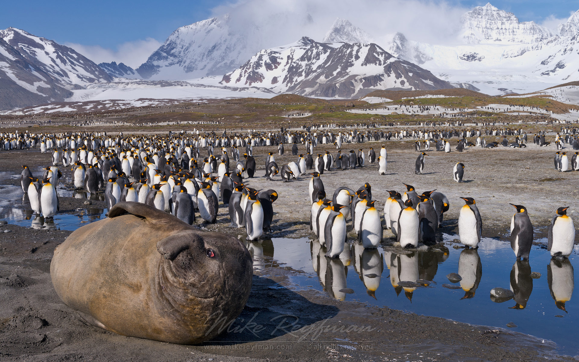 Southern Elephant Seal (Mirounga leonina) and King Penguins (Aptenodytes patagonicus). Saint Andrews Bay, South Georgia, Sub-Antarctic - Southern-Elephant-Seals-Fur-Seals-South-Georgia-Sub-Antarctic - Mike Reyfman Photography
