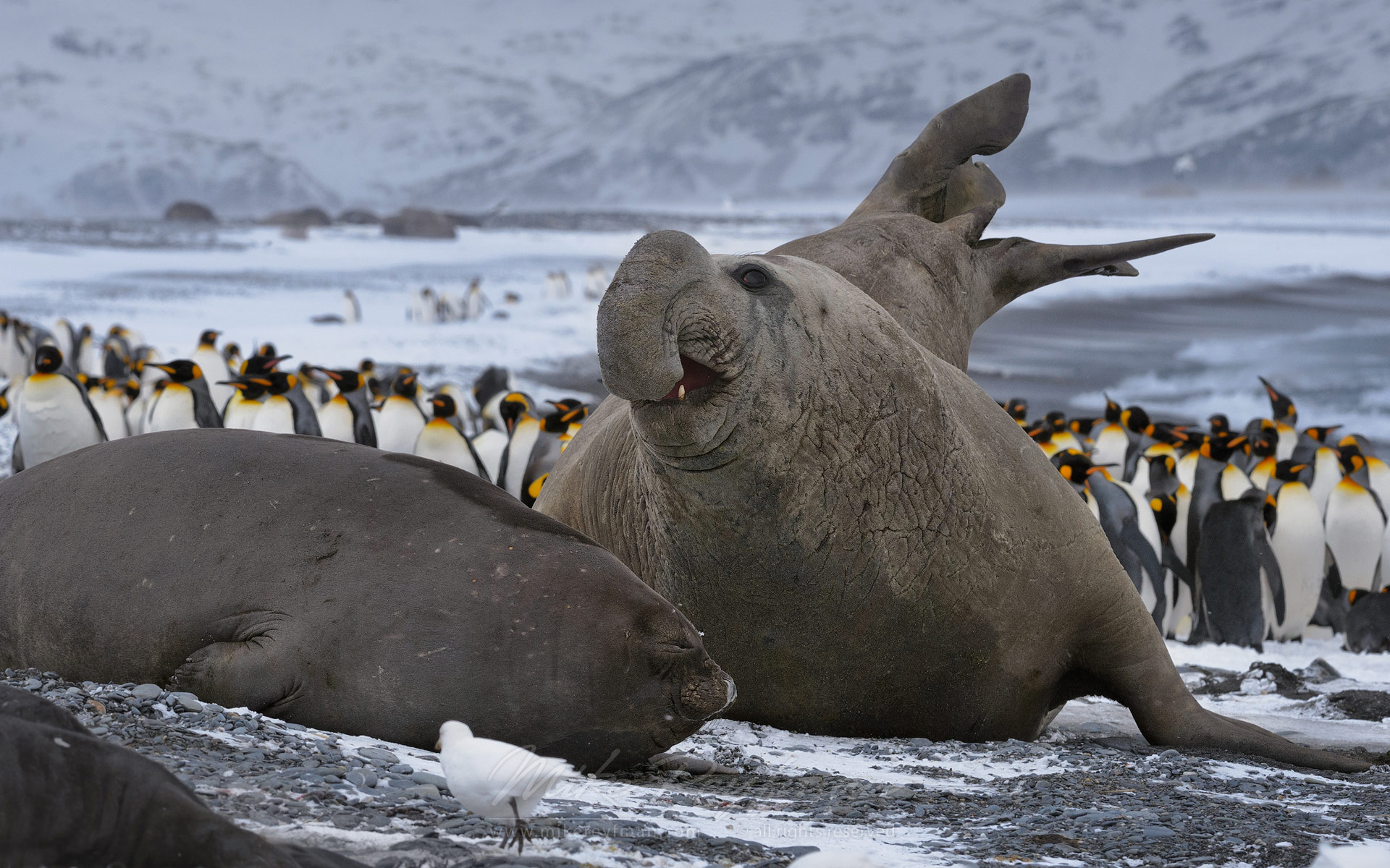 I will flitter as butterfly around your hat! Southern Elephant Seals (Mirounga leonina). Salisbury Plain, South Georgia, Sub-Antarctic.  - Southern-Elephant-Seals-Fur-Seals-South-Georgia-Sub-Antarctic - Mike Reyfman Photography