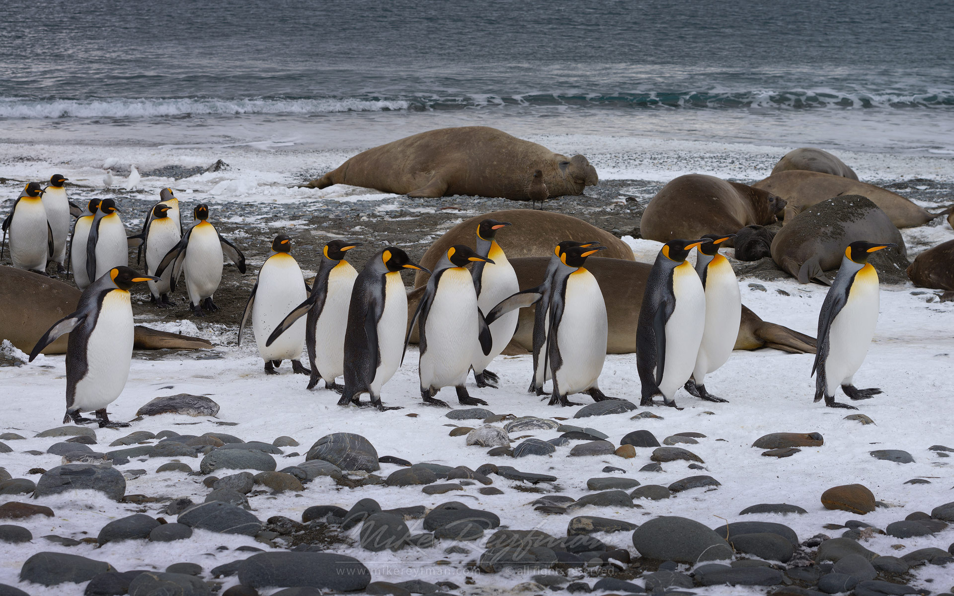 Southern Elephant Seals (Mirounga leonina) and King Penguins (Aptenodytes patagonicus). Salisbury Plain, South Georgia, Sub-Antarctic.  - Southern-Elephant-Seals-Fur-Seals-South-Georgia-Sub-Antarctic - Mike Reyfman Photography