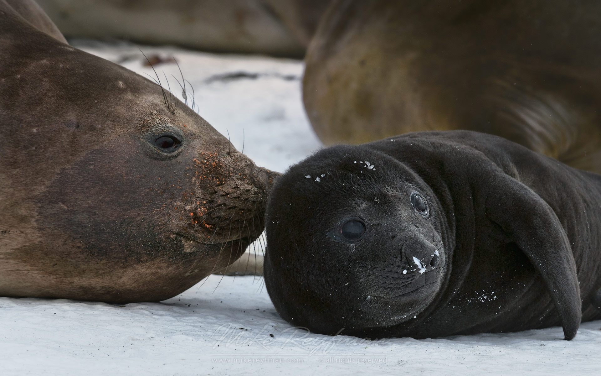 Newborn Southern Elephant Seal (Mirounga leonina) pup. South Georgia, Sub-Antarctic - Southern-Elephant-Seals-Fur-Seals-South-Georgia-Sub-Antarctic - Mike Reyfman Photography