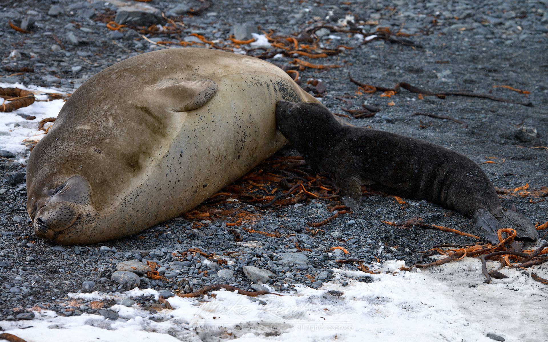 Newborn Southern Elephant Seal (Mirounga leonina) pup suckling mothers milk. South Georgia, Sub-Antarctic - Southern-Elephant-Seals-Fur-Seals-South-Georgia-Sub-Antarctic - Mike Reyfman Photography