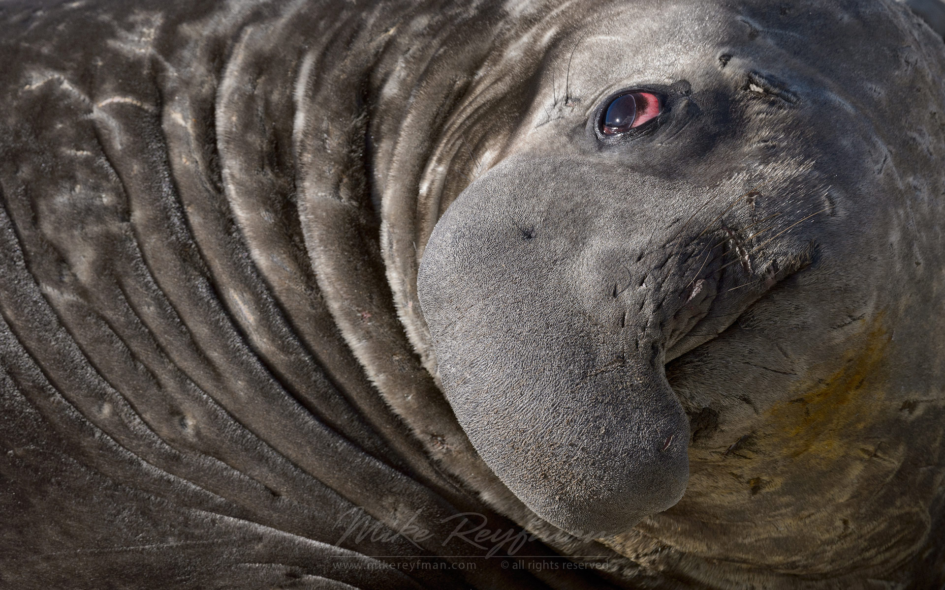 Sleaping Southern Elephant Seal (Mirounga leonina). South Georgia, Sub-Antarctic - Southern-Elephant-Seals-Fur-Seals-South-Georgia-Sub-Antarctic - Mike Reyfman Photography